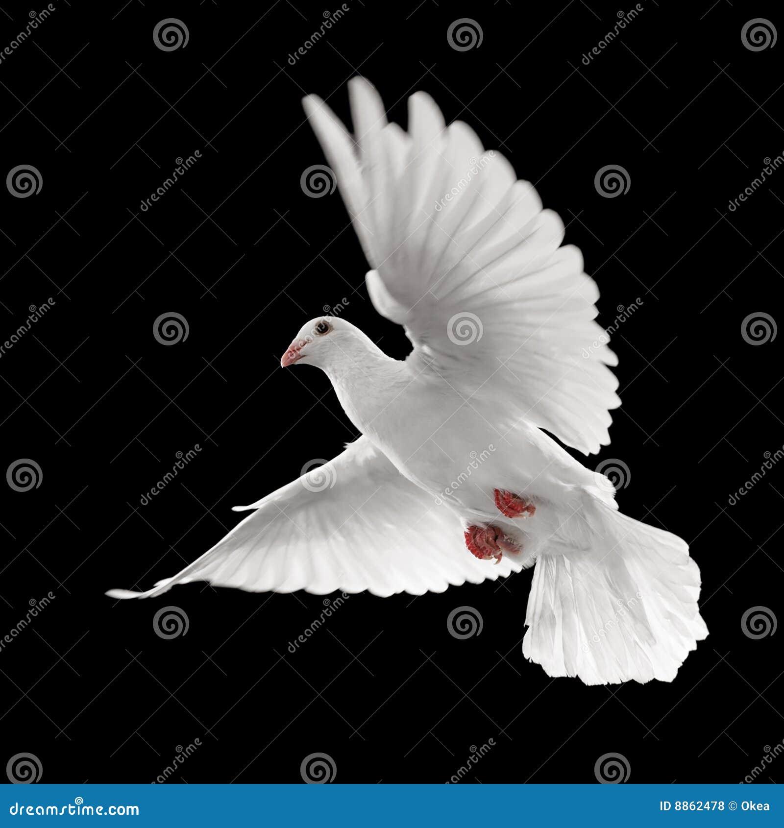 Blanc de vol de colombe