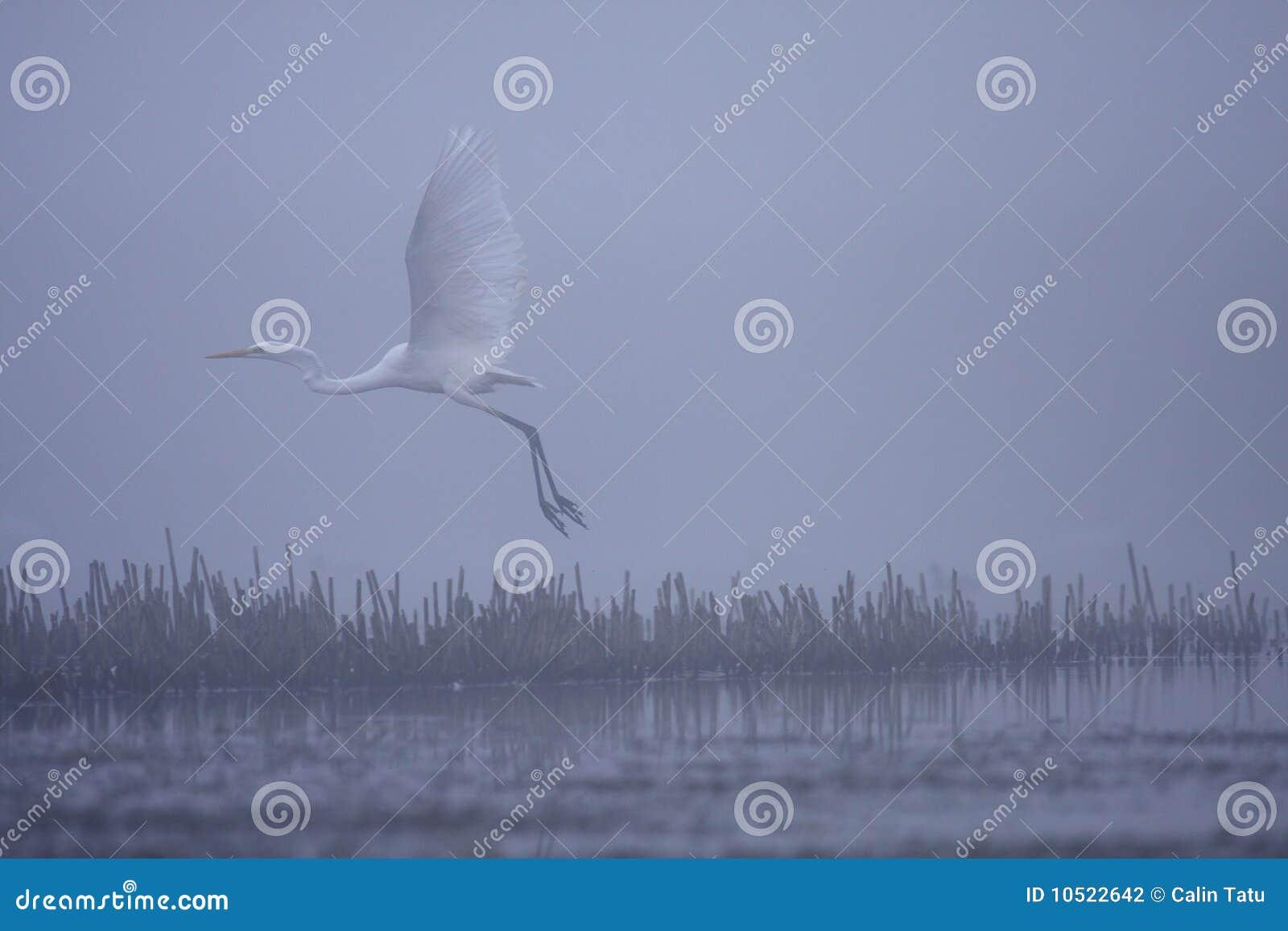 Blanc grand d egreta alba de héron