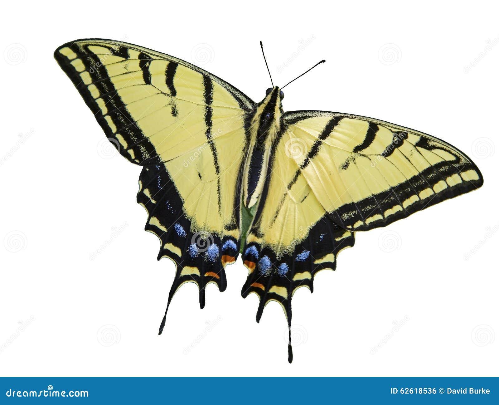 Blanco aislado mariposa con dos colas del swallowtail