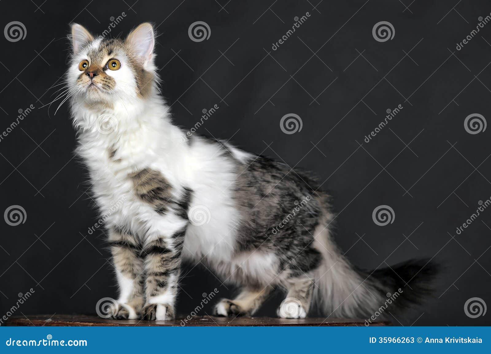 Blanco con el gato rayado de los puntos