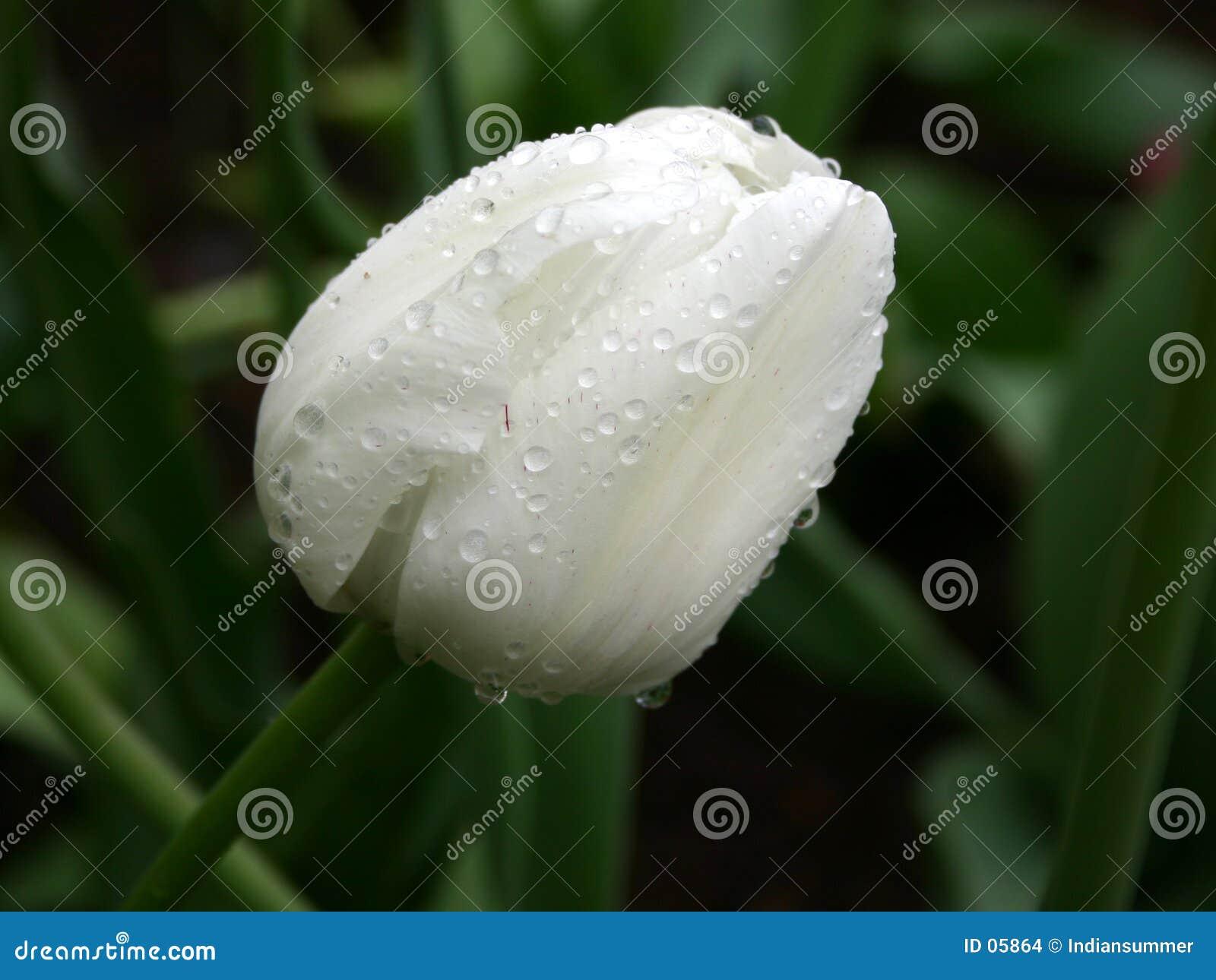 Blanco en verde. Tulipán en la lluvia