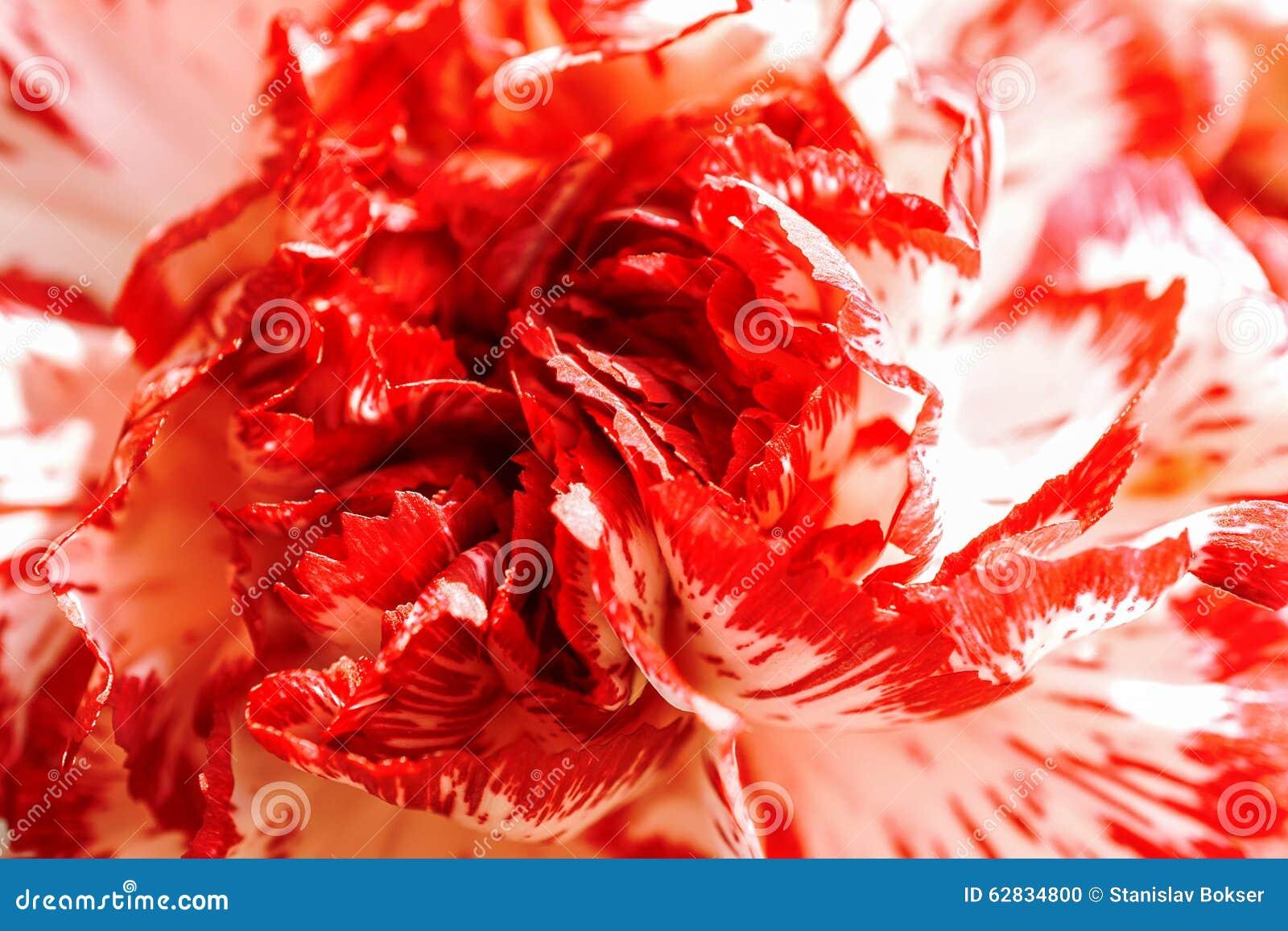 Blanco exótico y macro roja del clavel de Borgoña