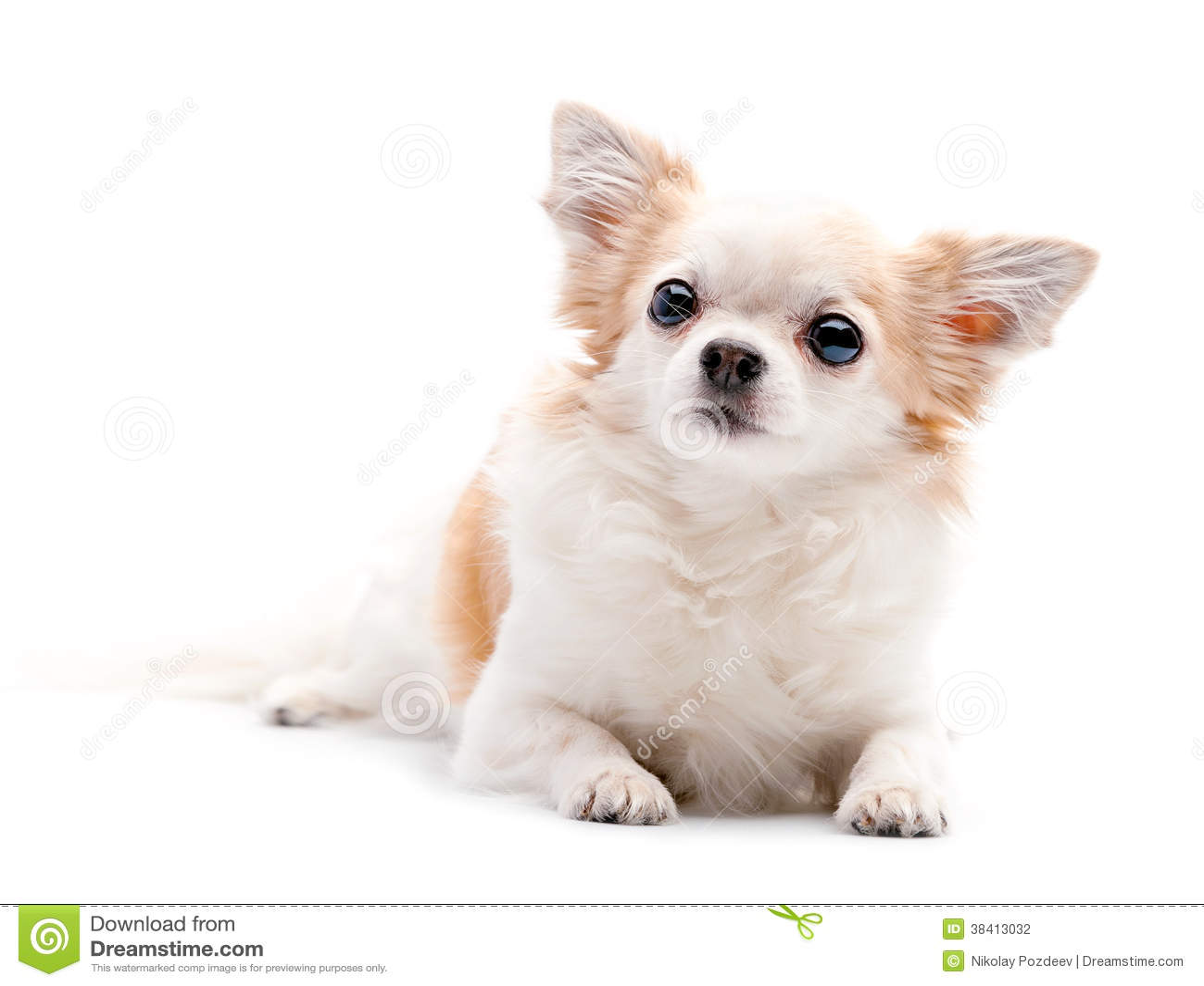 perro chihuahua fondo de - photo #17