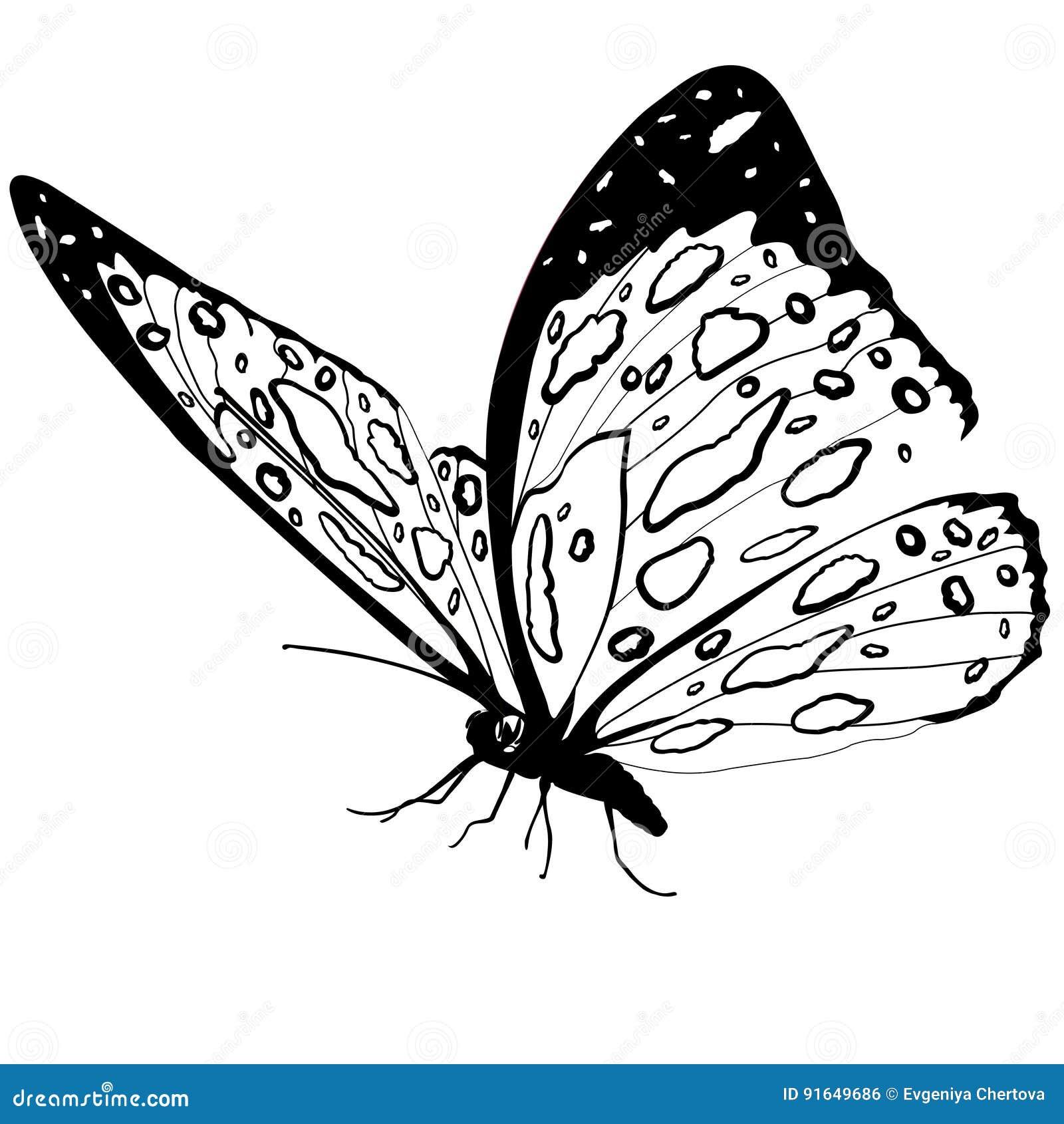 Blanco Y Negro De La Mariposa Aislado En El Fondo Blanco, Insecto ...