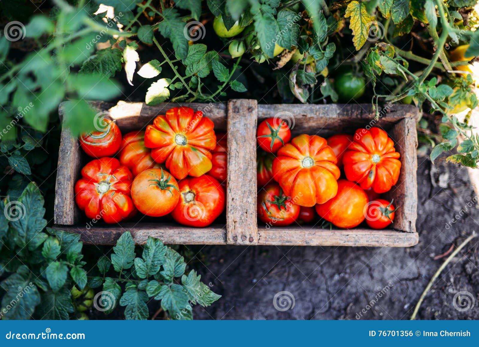 Blandade tomater i bruna pappers- påsar Olika tomater i bunke