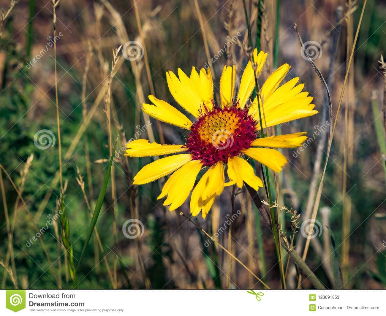 Blanket Flower With Red Center Stock Image Image Of Angle Grasses