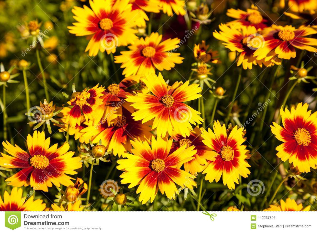 Blanket Flower Yellow Daisy With Red Center Called Gaillardia Pu