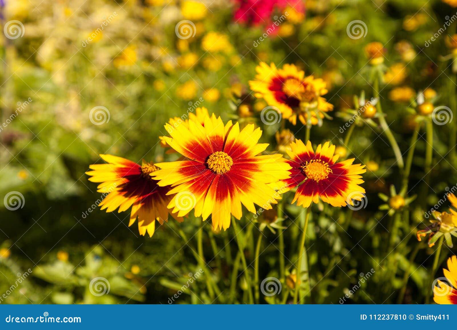 Blanket Flower Yellow Daisy With Red Center Called Gaillardia Pu