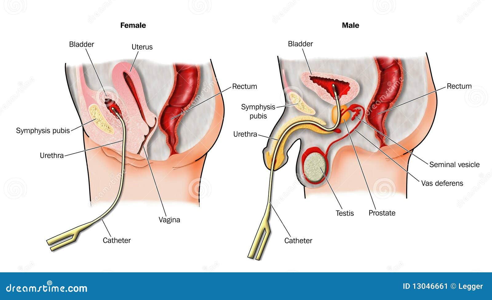 Großartig Weibliche Harn Anatomie Diagramm Bilder - Menschliche ...