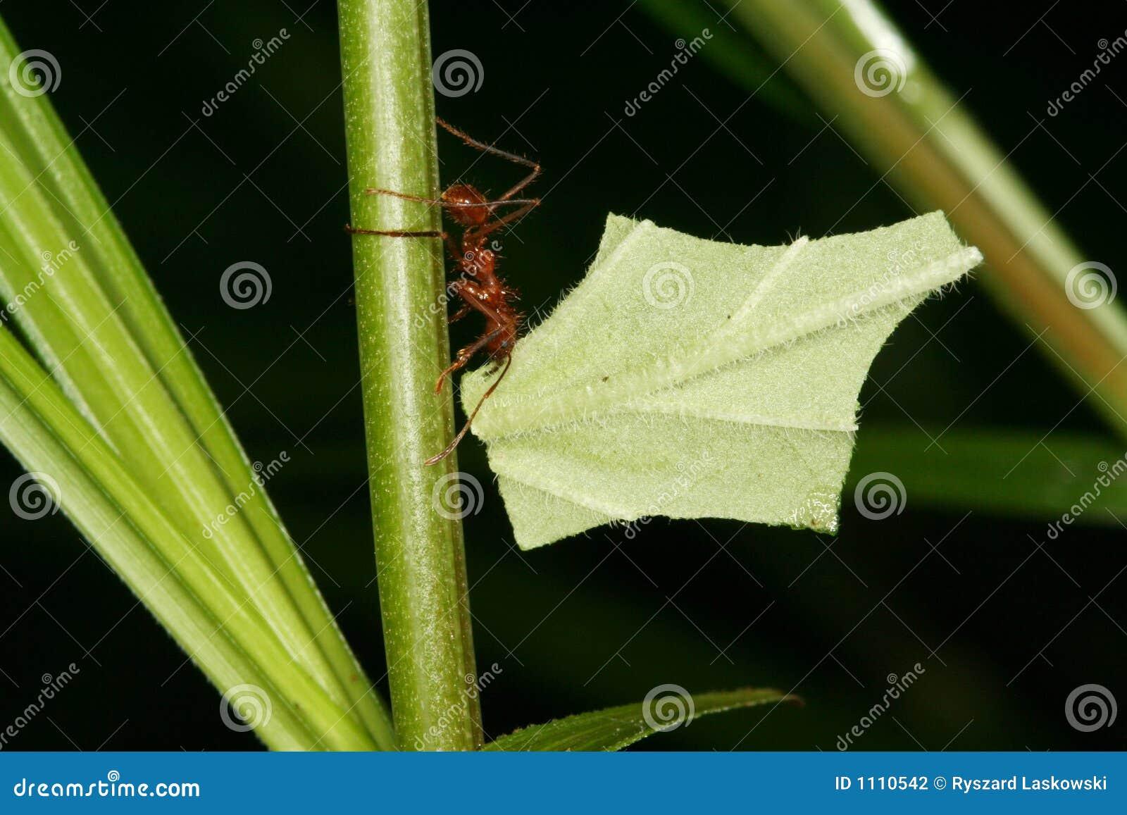 Blatt-Ausschnitt Atta Ameise