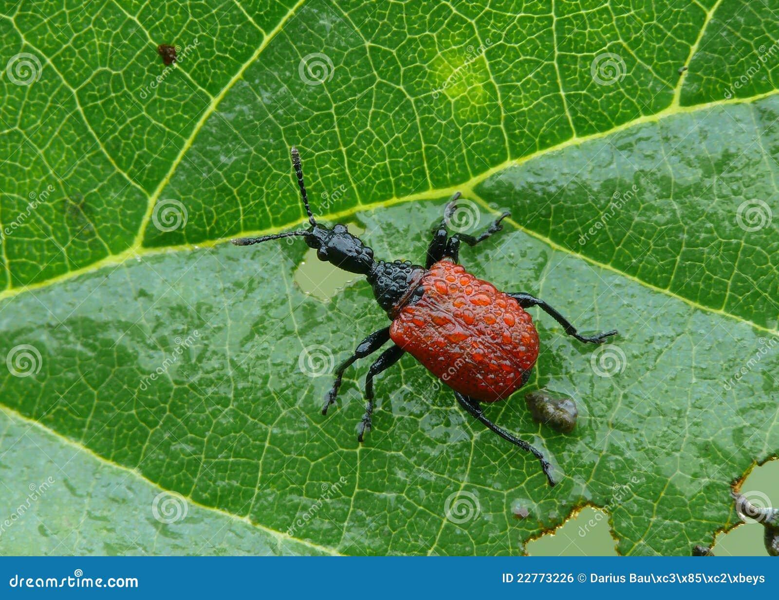 Blatt-Rollen Rüsselkäfer