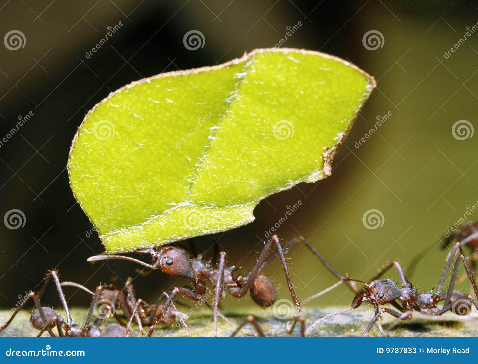 Blatt-Scherblock-Ameise