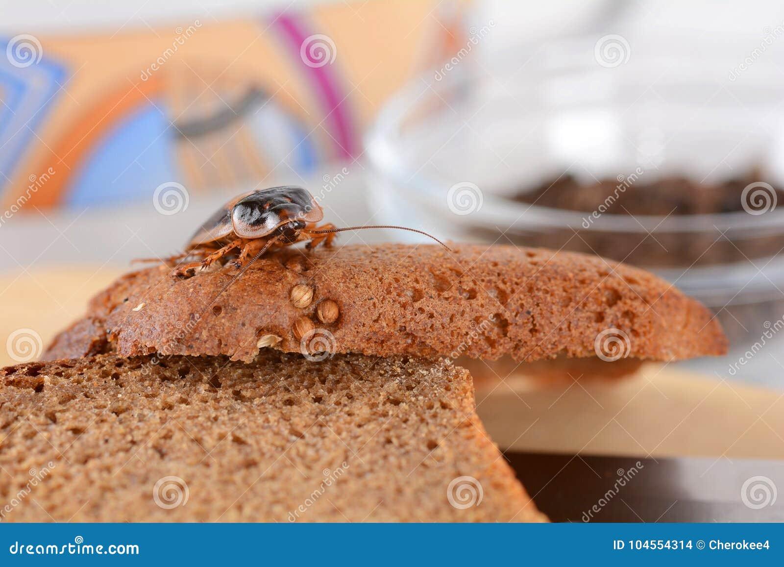 Blatta nella cucina Il problema è nella casa a causa delle blatte Blatta che mangia nella cucina