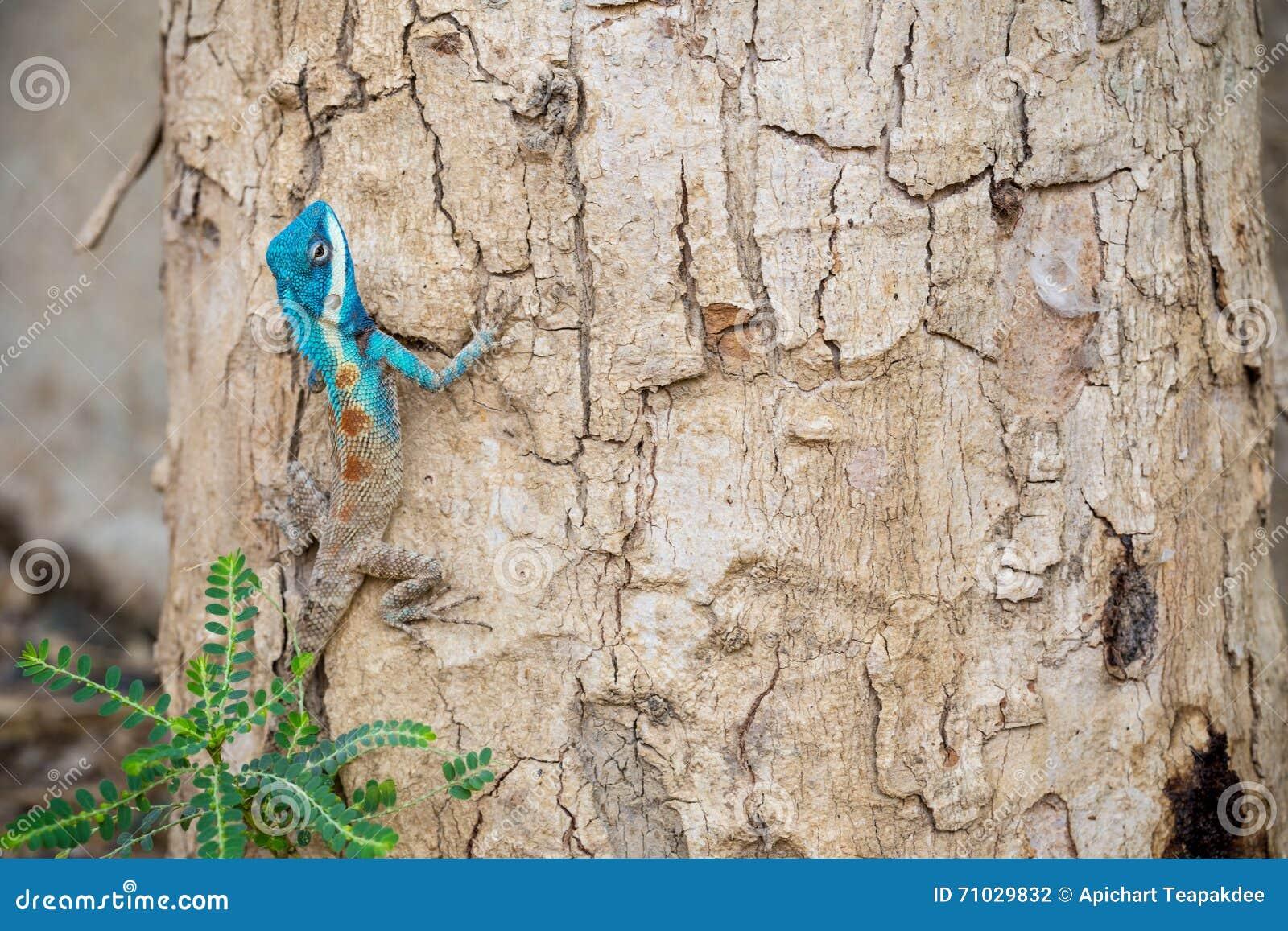Blau-mit Haube Eidechse