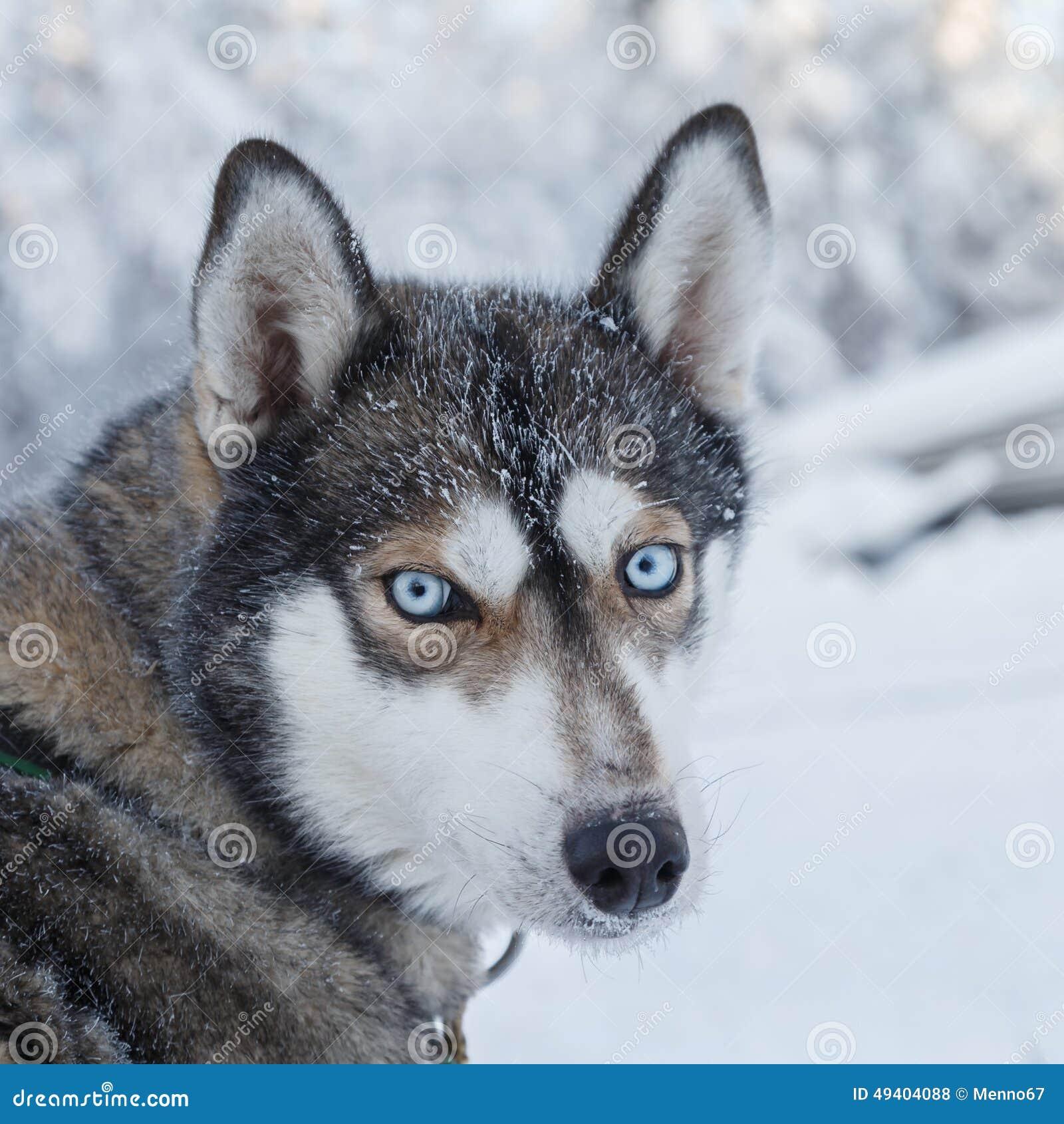 Download Blaue Augen stockfoto. Bild von grau, schön, pelz, heiser - 49404088
