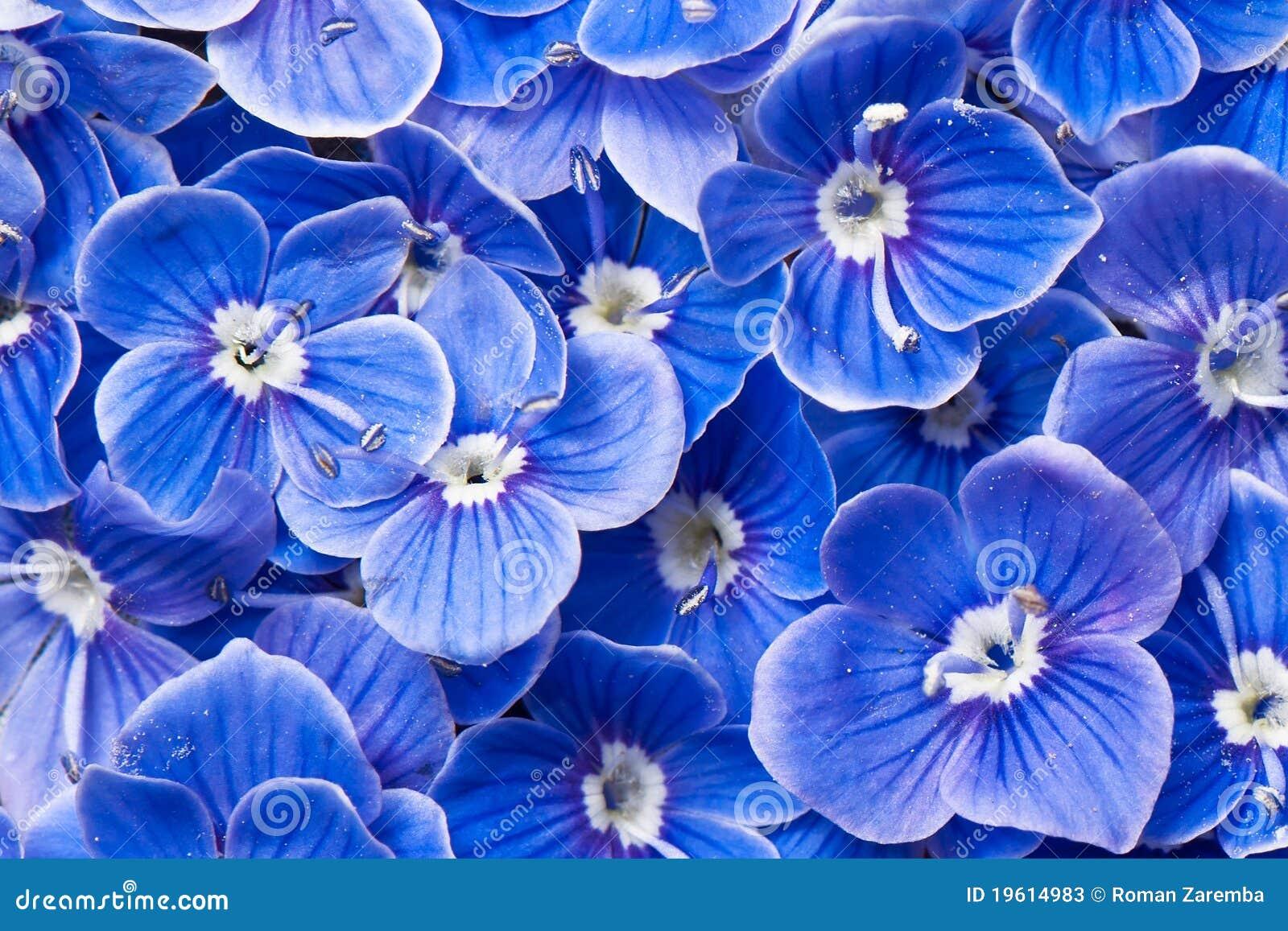 blaue blumen stockbild bild von blume sonderkommando 19614983. Black Bedroom Furniture Sets. Home Design Ideas