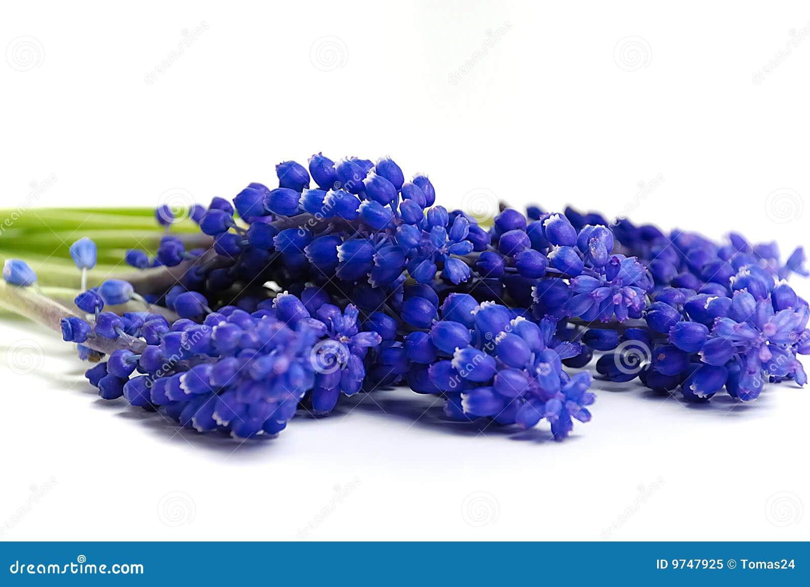 blaue blumen stockbild bild von garten betrieb blumen