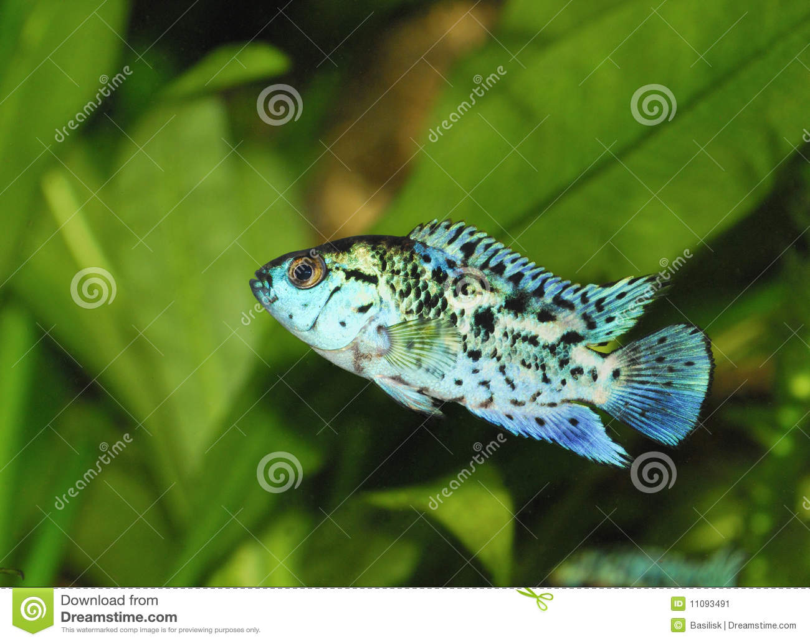 blaue exotische fische im aquarium stockbild bild 11093491. Black Bedroom Furniture Sets. Home Design Ideas