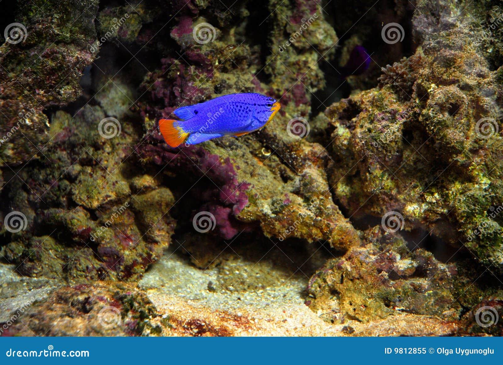 Blaue Fische auf Korallenriff