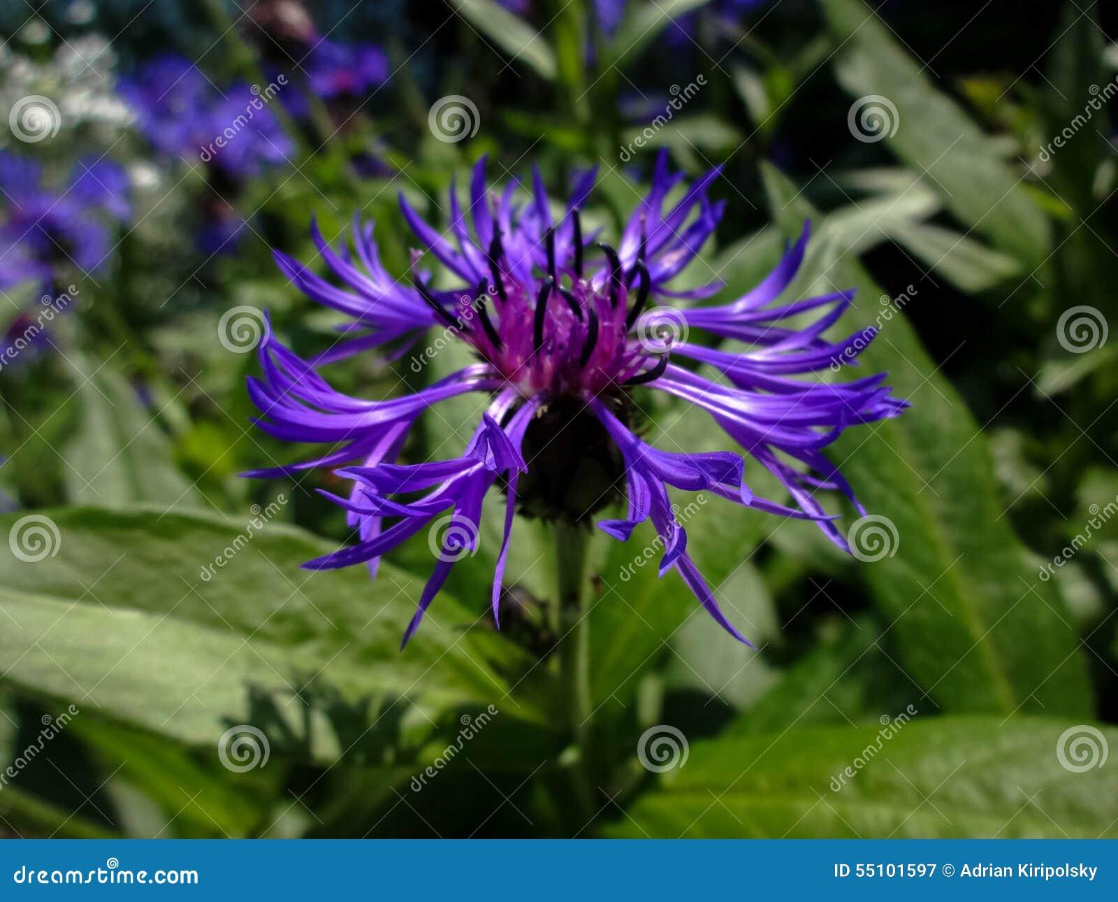 blaue gartenblume stockfoto - bild: 55101597, Gartengestaltung