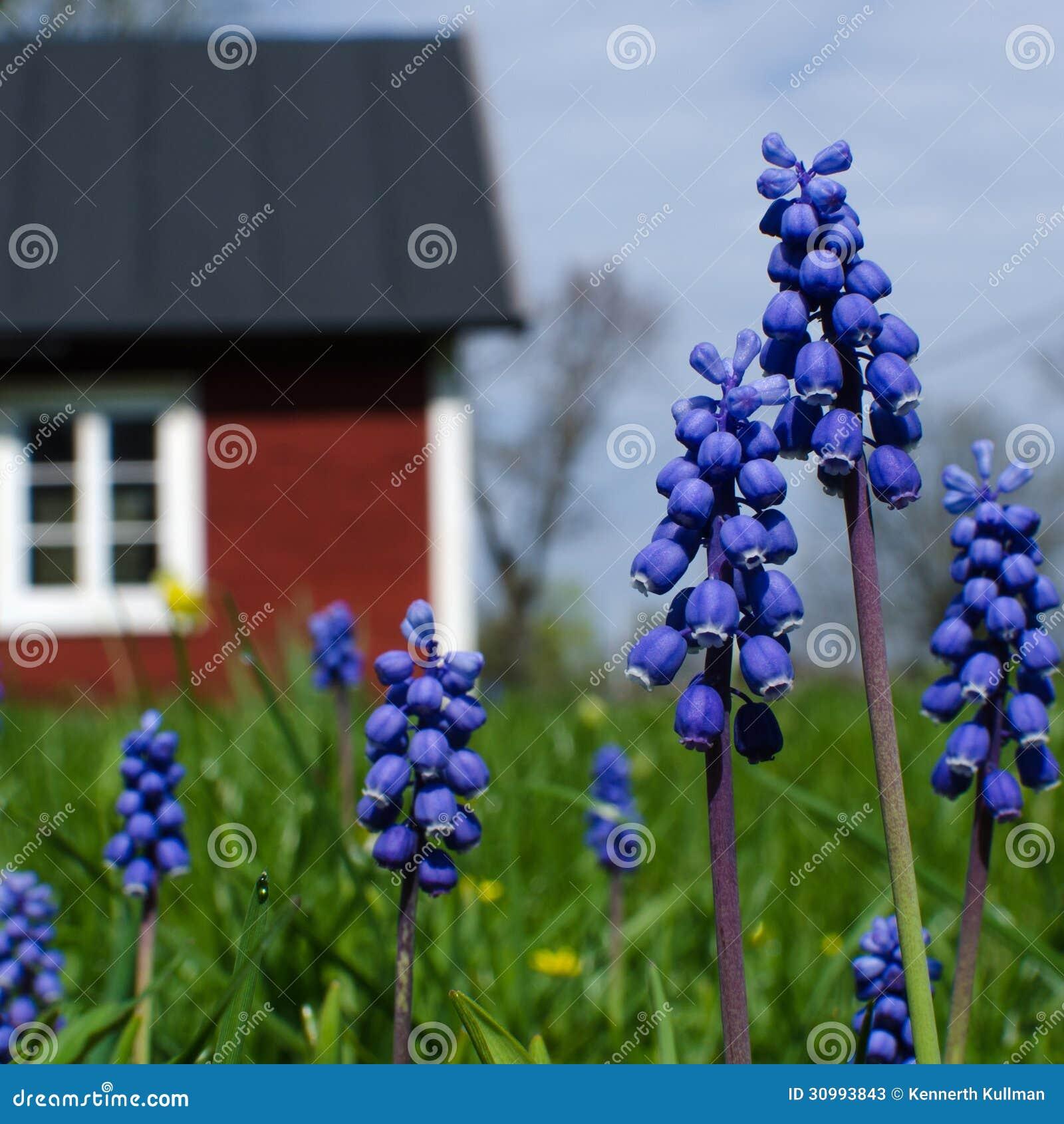Blaue Gartenblumen stockbild. Bild von grün, frühling - 30993843