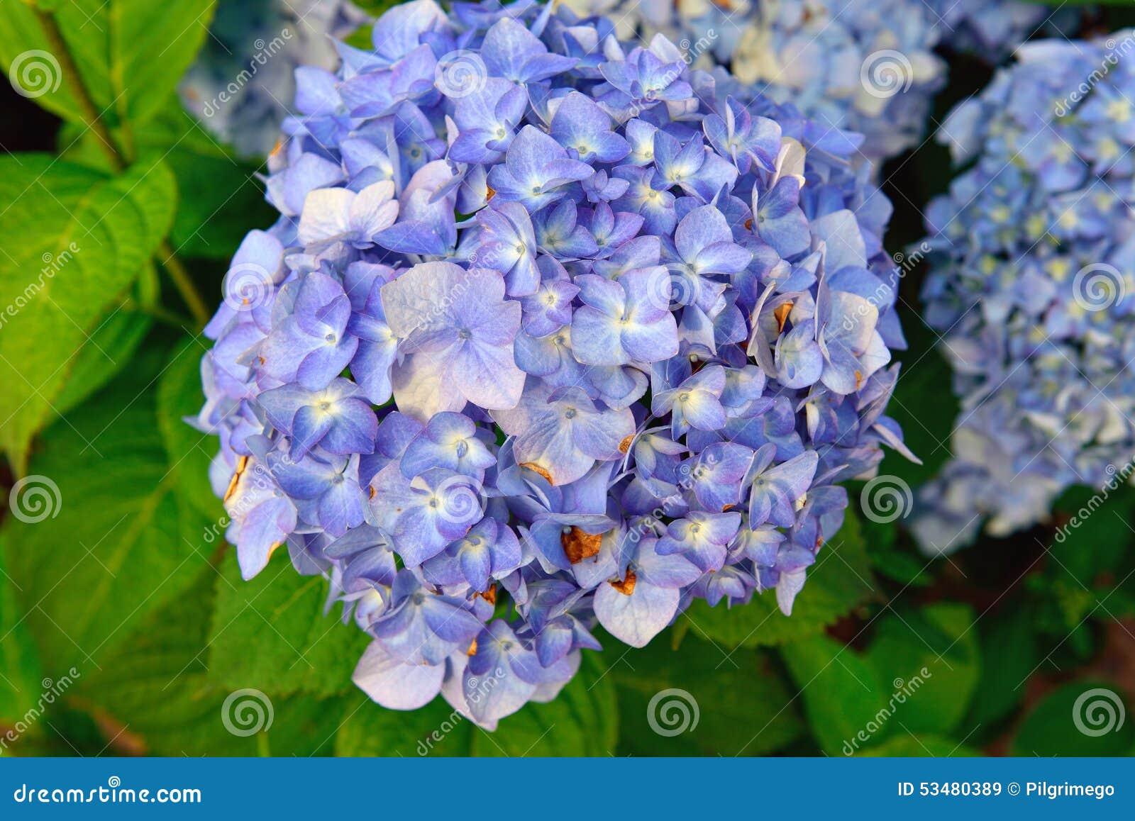 blaue hortensie die in der natur bl ht stockfoto bild. Black Bedroom Furniture Sets. Home Design Ideas