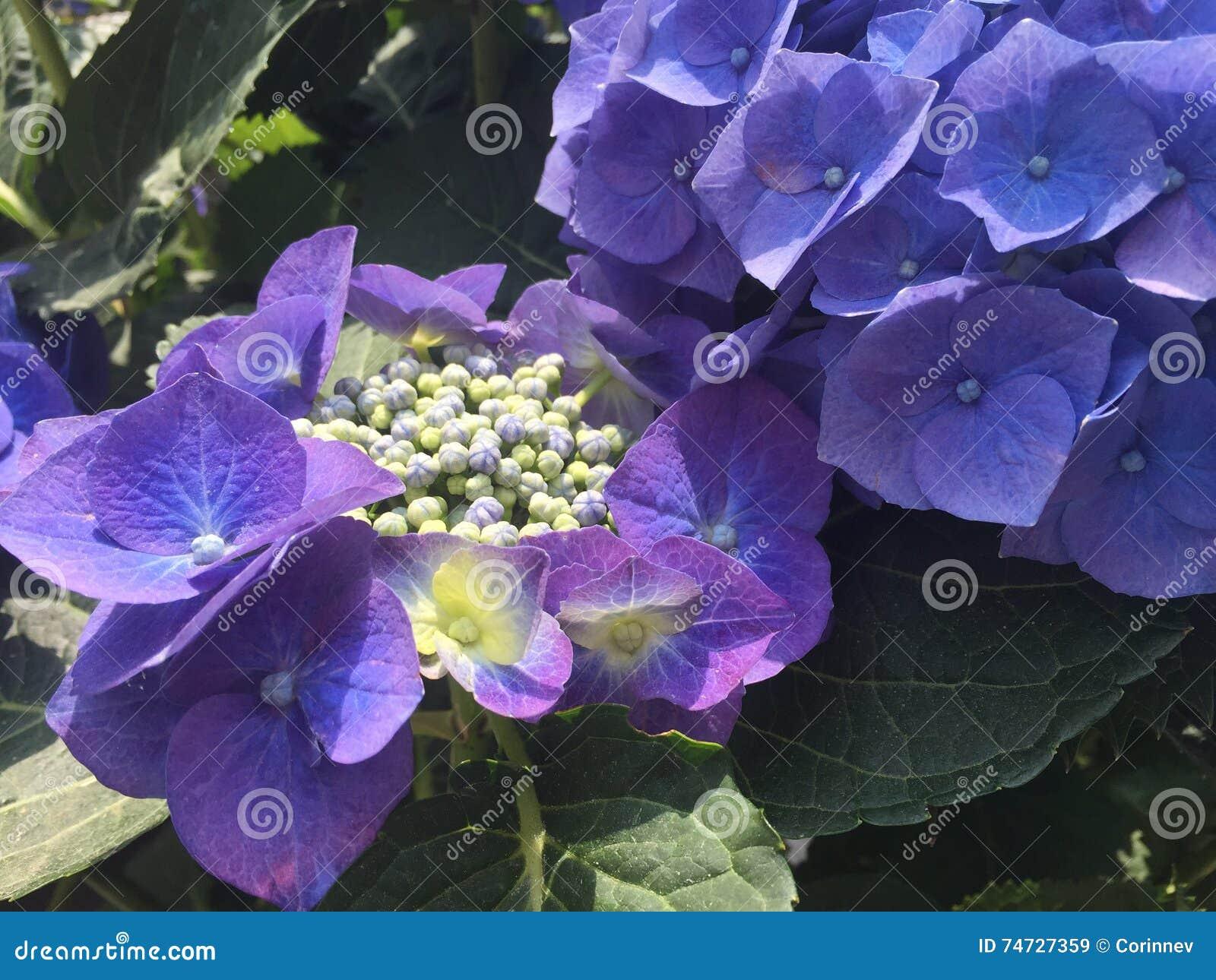 blaue hortensie im abschluss oben stockfoto bild 74727359. Black Bedroom Furniture Sets. Home Design Ideas