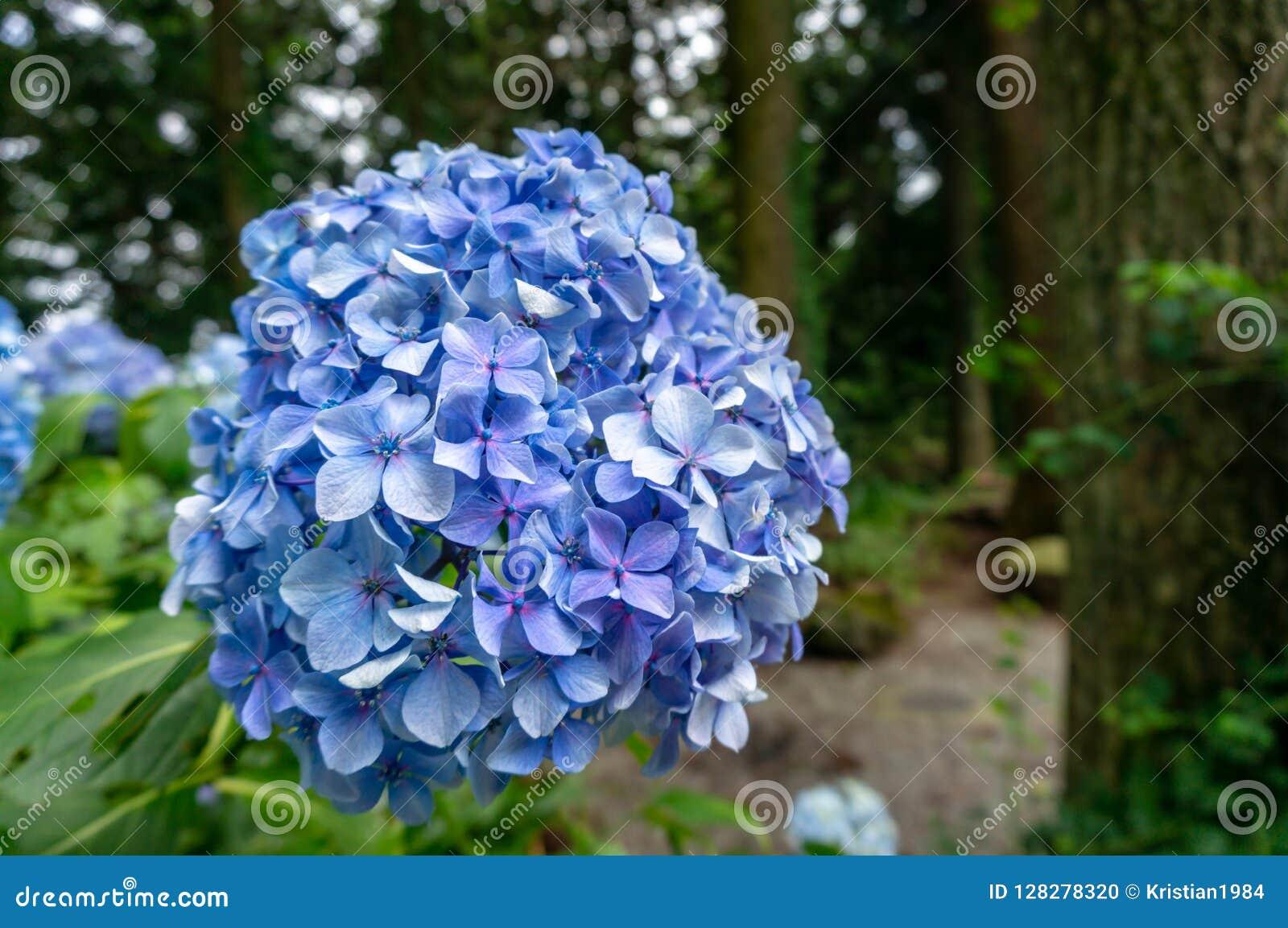Blaue Hortensie Mit Einem Wald Im Hintergrund Stockfoto Bild Von