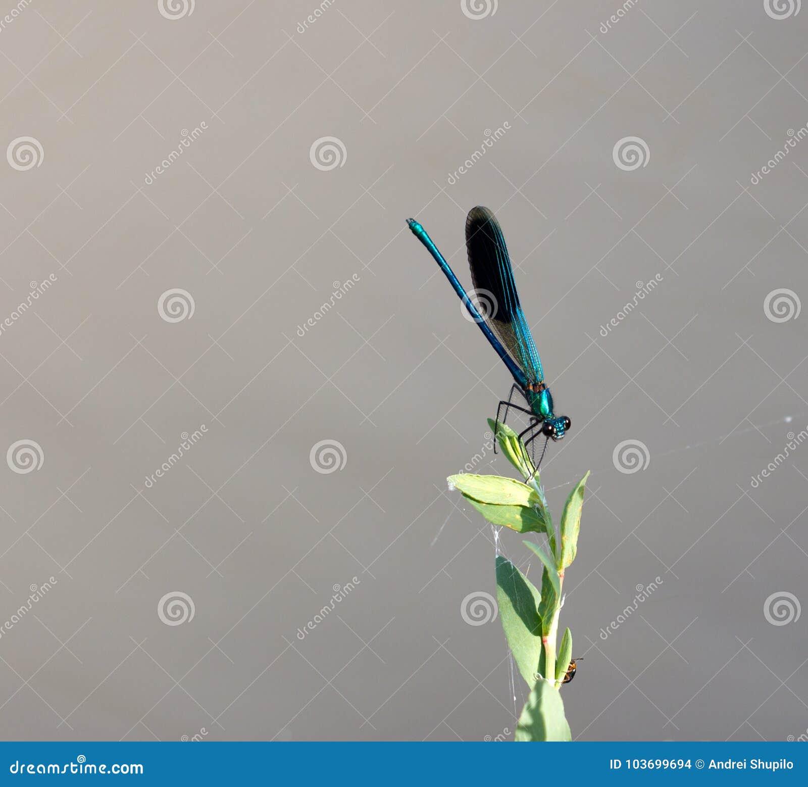 Blaue Libelle in der Natur Makro