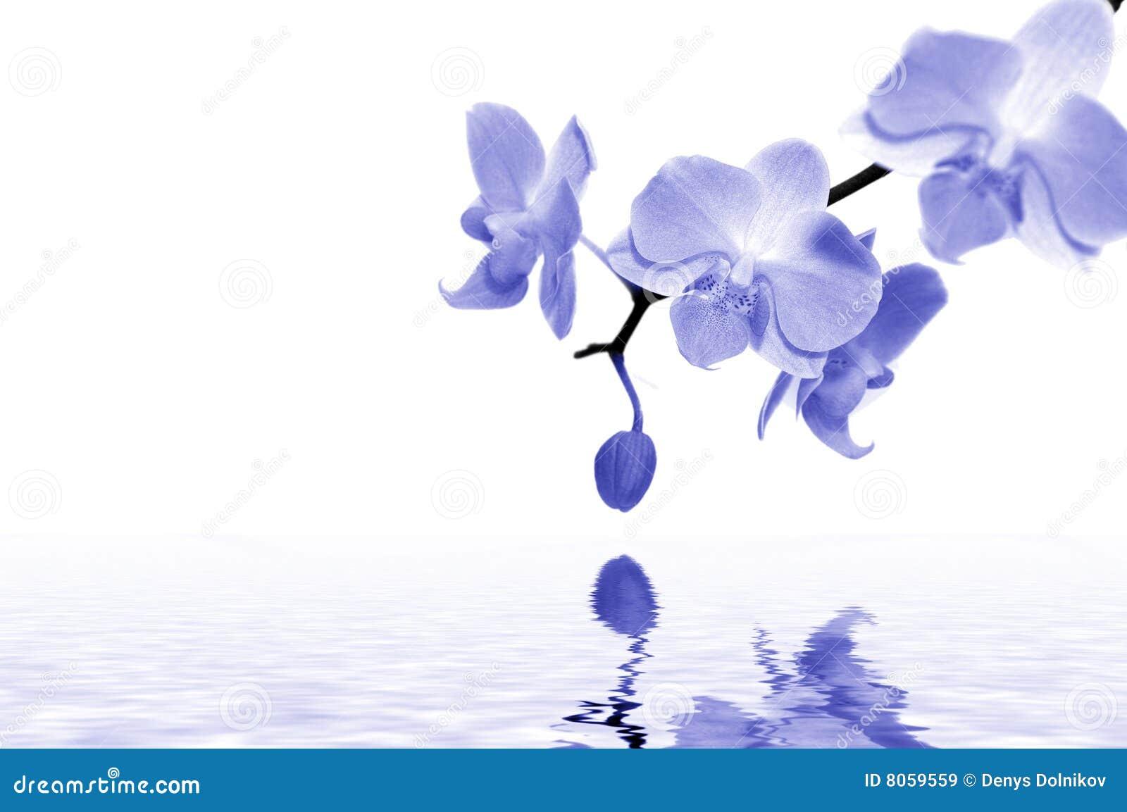 blaue orchideen stockbild bild von konzept bunt. Black Bedroom Furniture Sets. Home Design Ideas