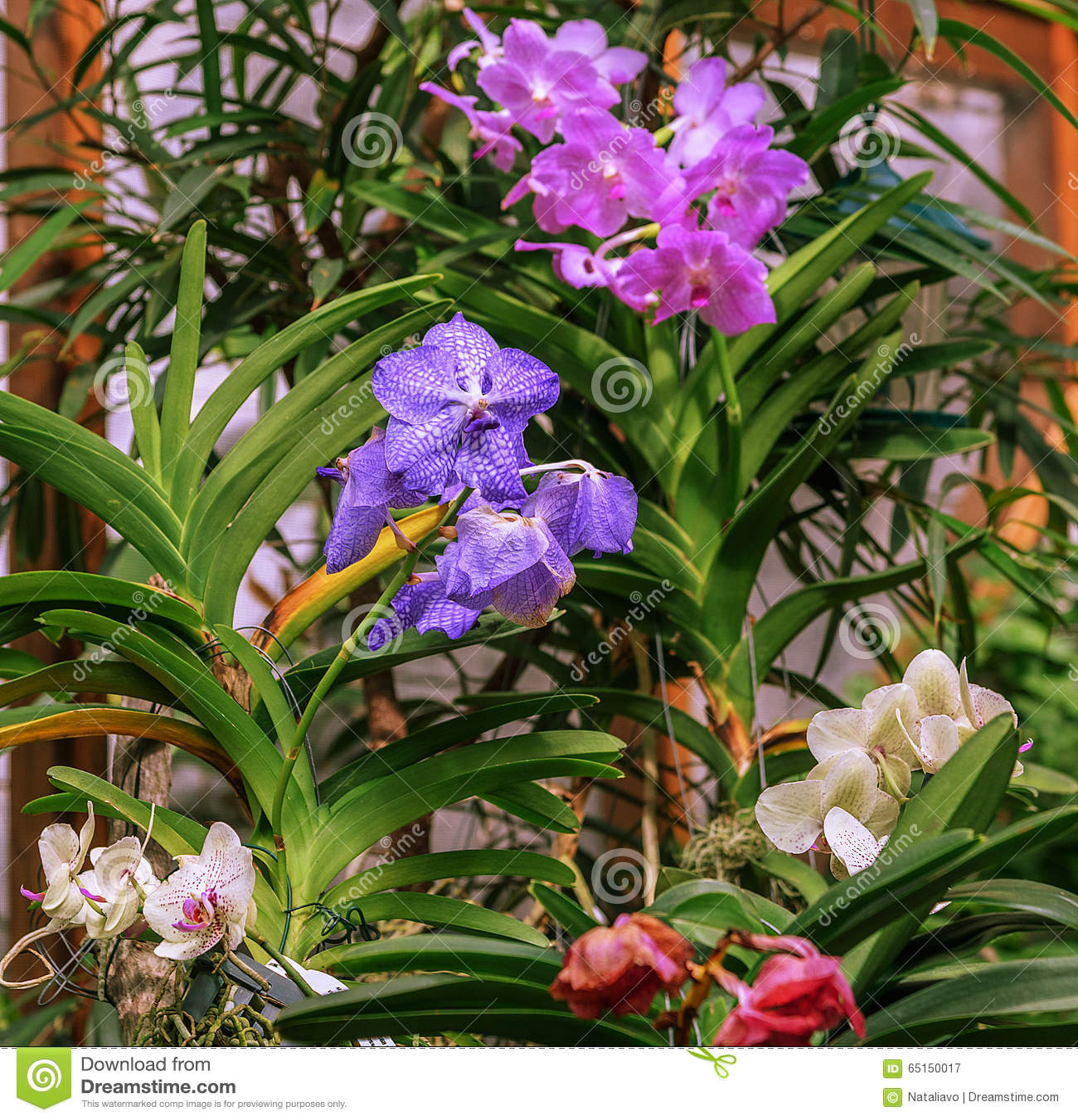blaue purpurrote wei e vanda orchideen im glashaus der. Black Bedroom Furniture Sets. Home Design Ideas