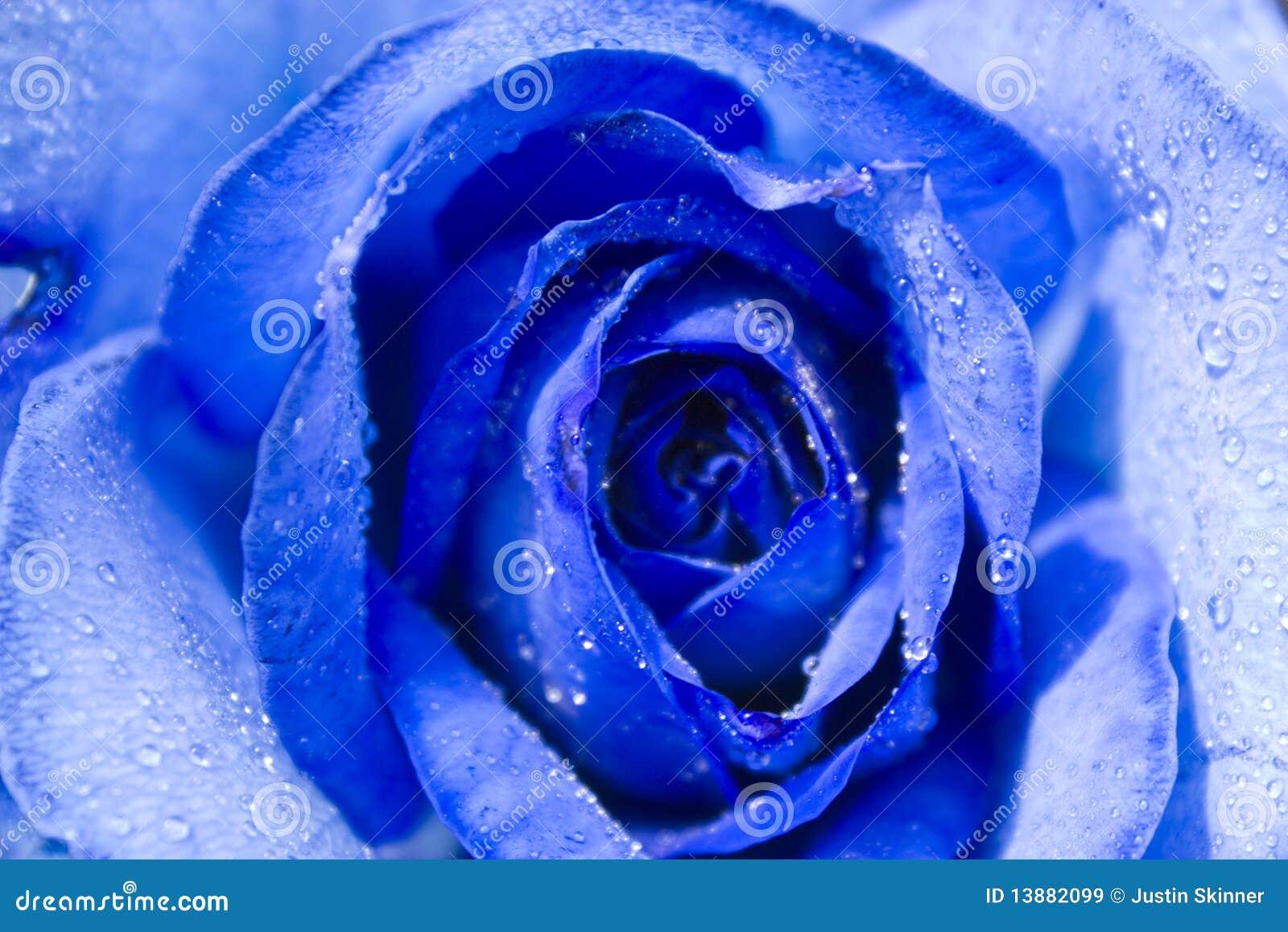 blaue rose mit tau stockbild bild von fotographie stieg 13882099. Black Bedroom Furniture Sets. Home Design Ideas