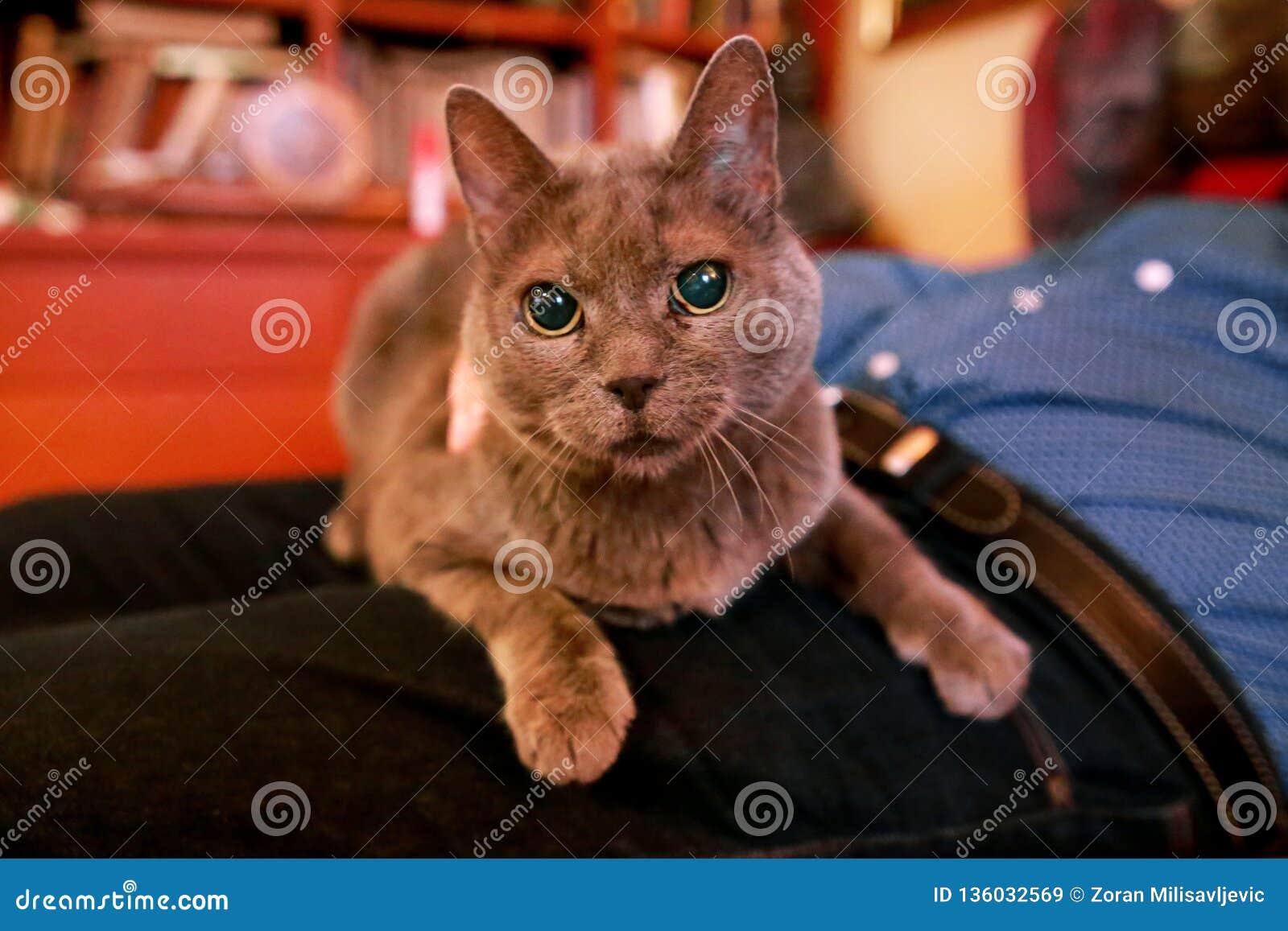 Blaue russische Katze, die seiend gestreichelt sich entspannt, liegt und genießt, zu Hause verwöhnend und auf seinem Schossinhabe