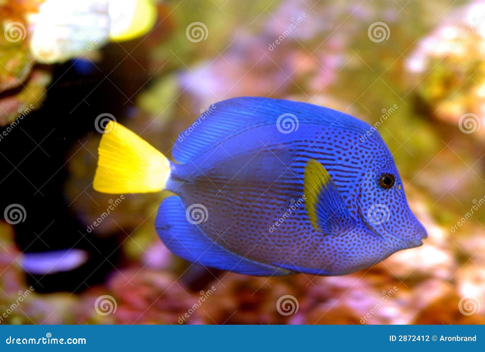Blaue salzwasserfische stockfoto bild von aquarium for Salzwasser aquarium fische