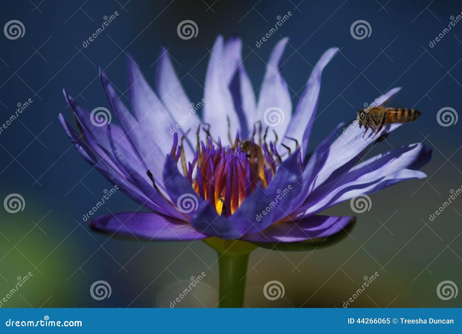 Blaue Seerose mit Biene