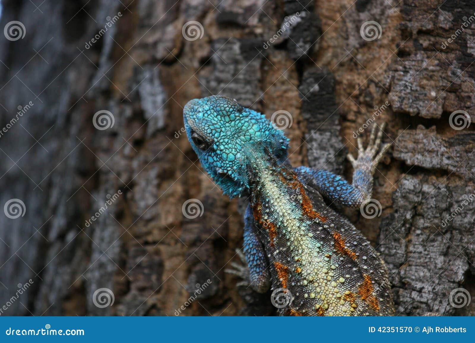 Blaue vorangegangene Baum-Dickzungeneidechse-Eidechse