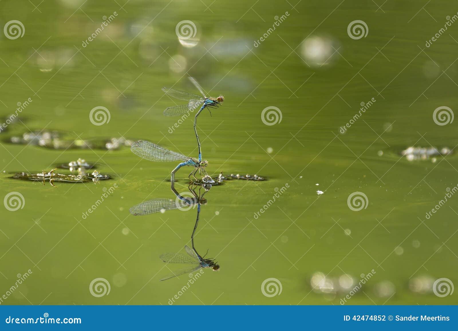 Blauer Damselfliesanschluß