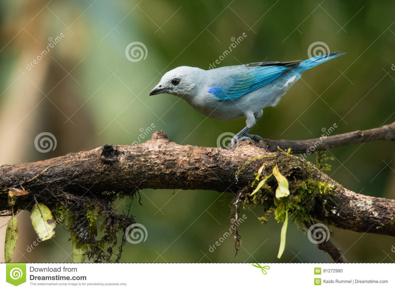 Blauer Gray Tanager