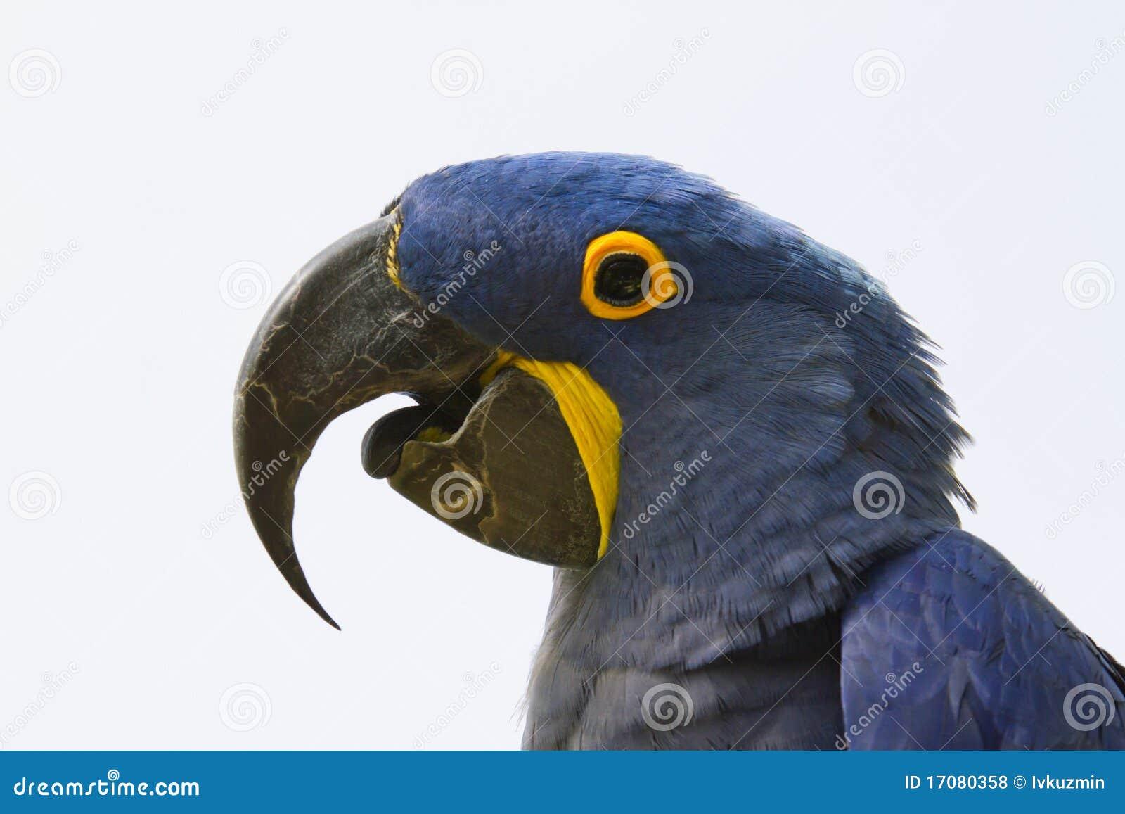 Blauer Macaw (Ara ararauna)