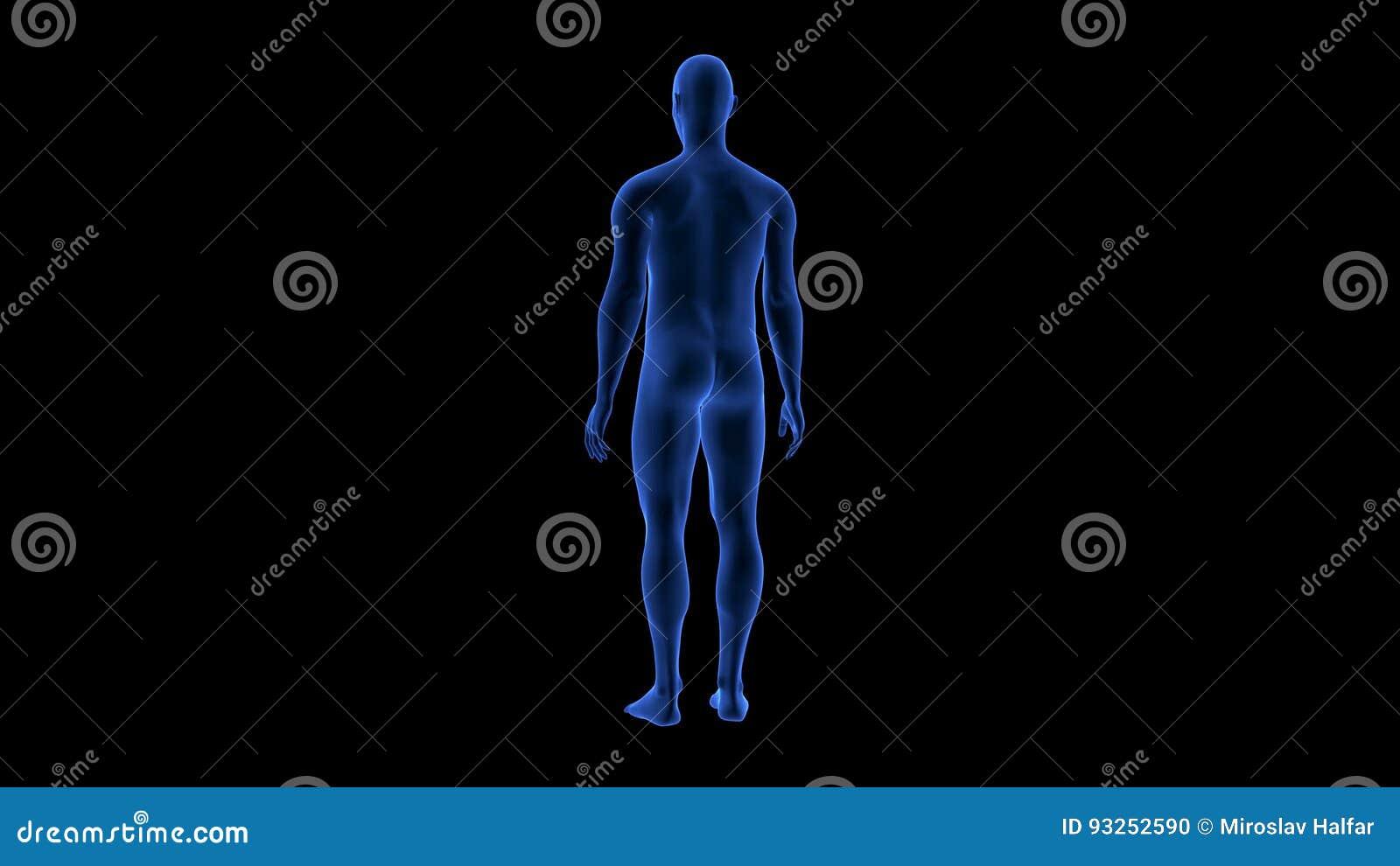Blauer Menschlicher Scan Des Anatomie-Körper-3D übertragen ...