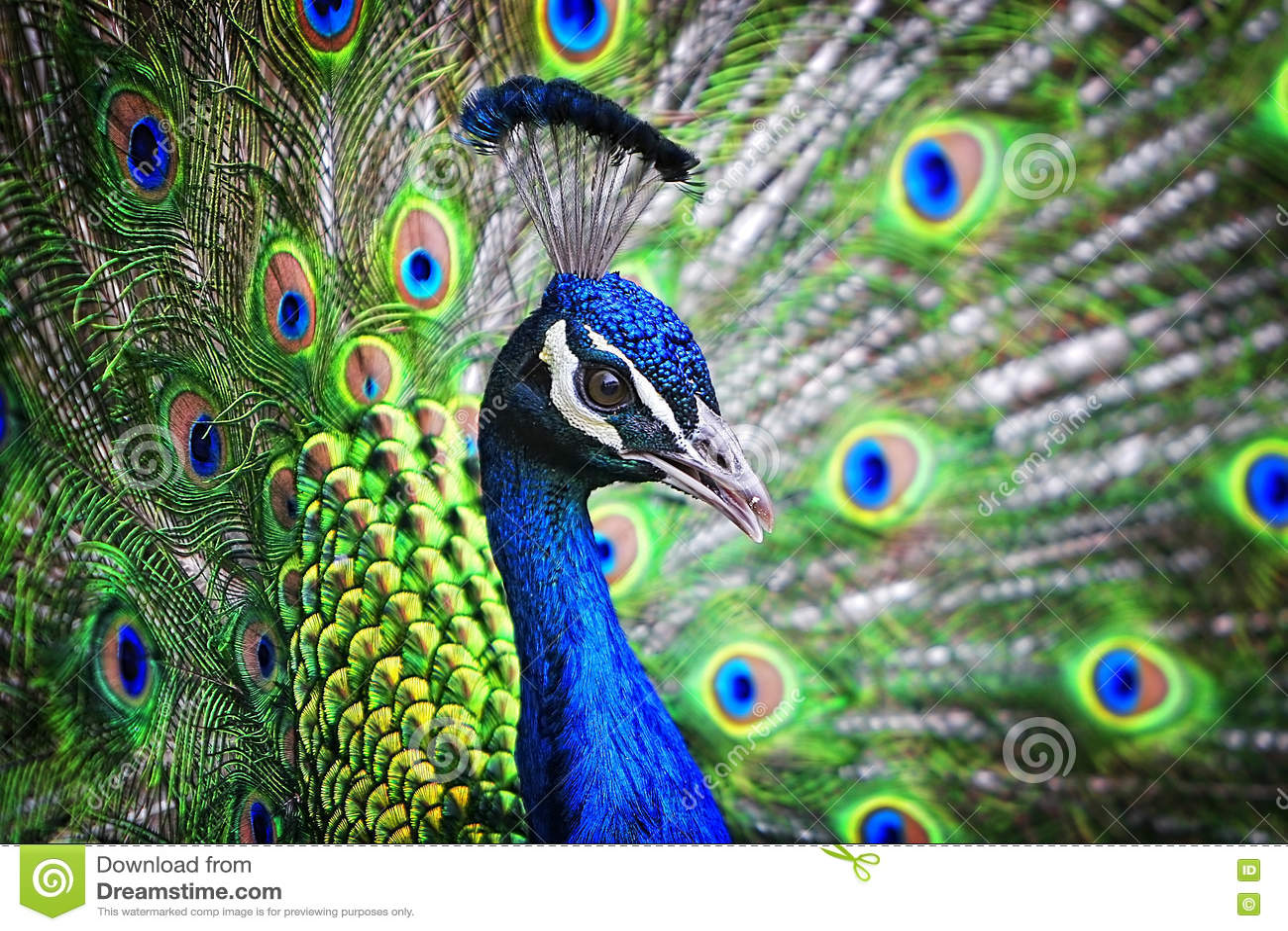 Blaues Band-Pfau-Porträt
