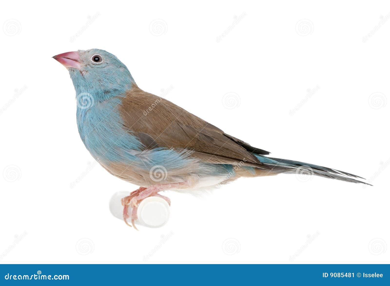 Blaues-breasted Schnur-Blau - Uraeginthus angolensis