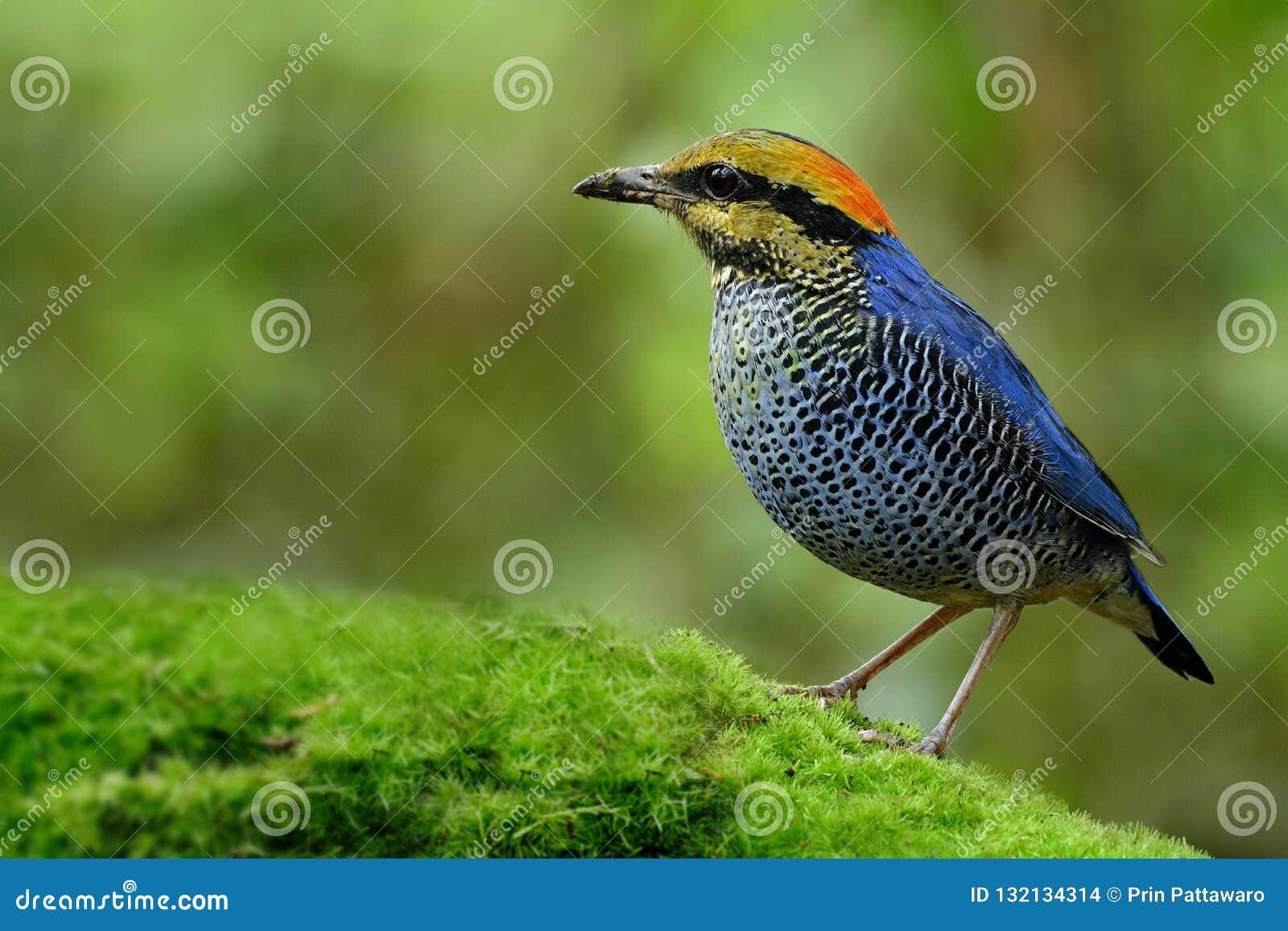 Blaues cyaneus Pitta Hydrornis fascinatedl blauer Vogel gelb und