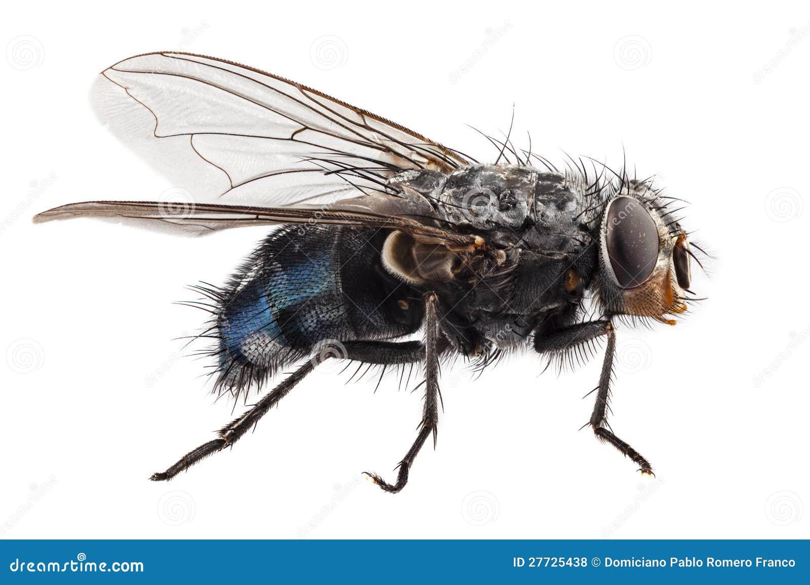 Blaues Flaschenfliegensorte Calliphora vomitoria