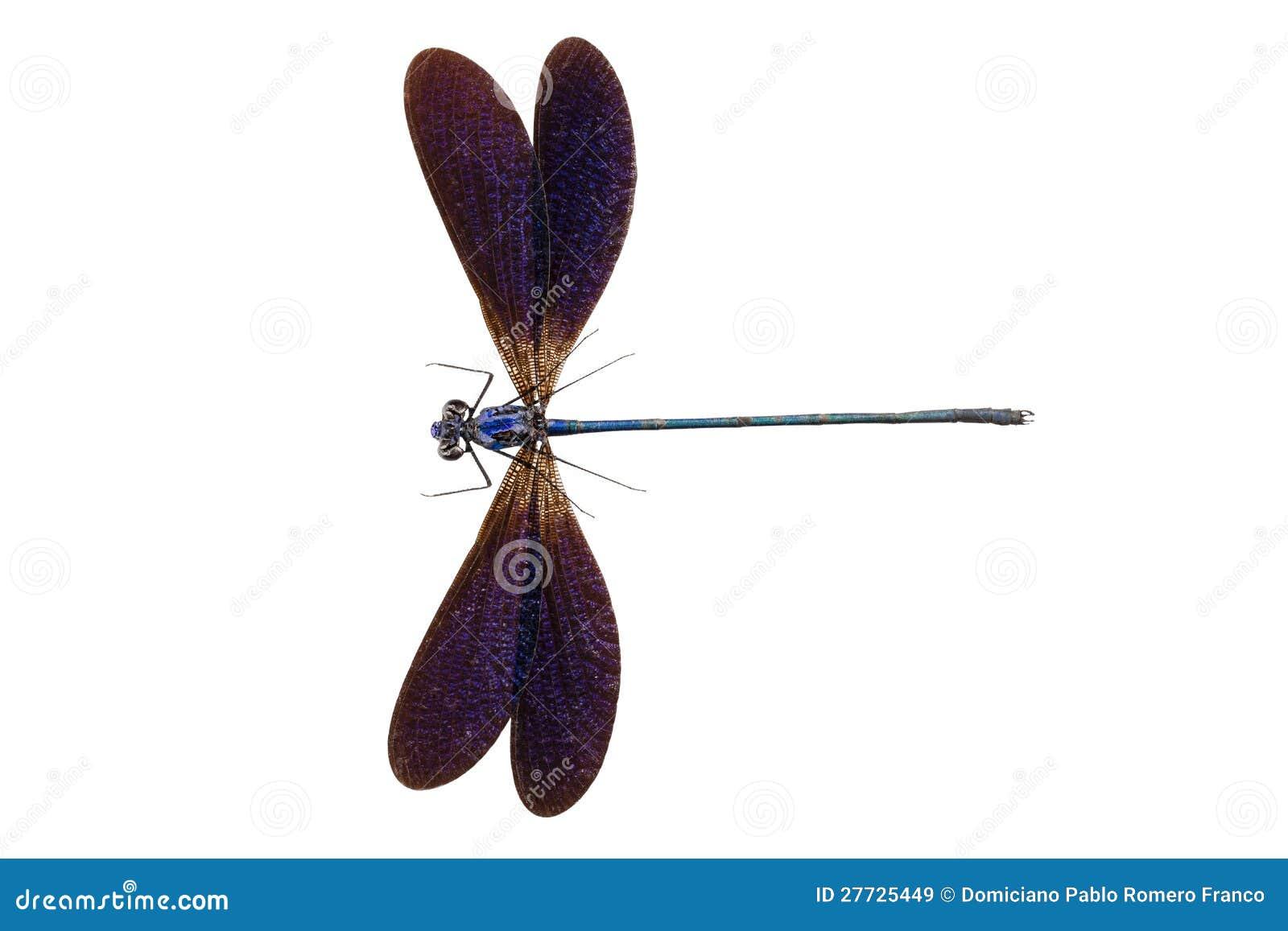 Blaues Libellesorte Vestalis luctuosa