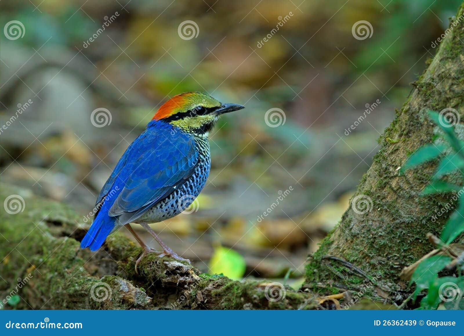 Blaues Pitta (Mann)