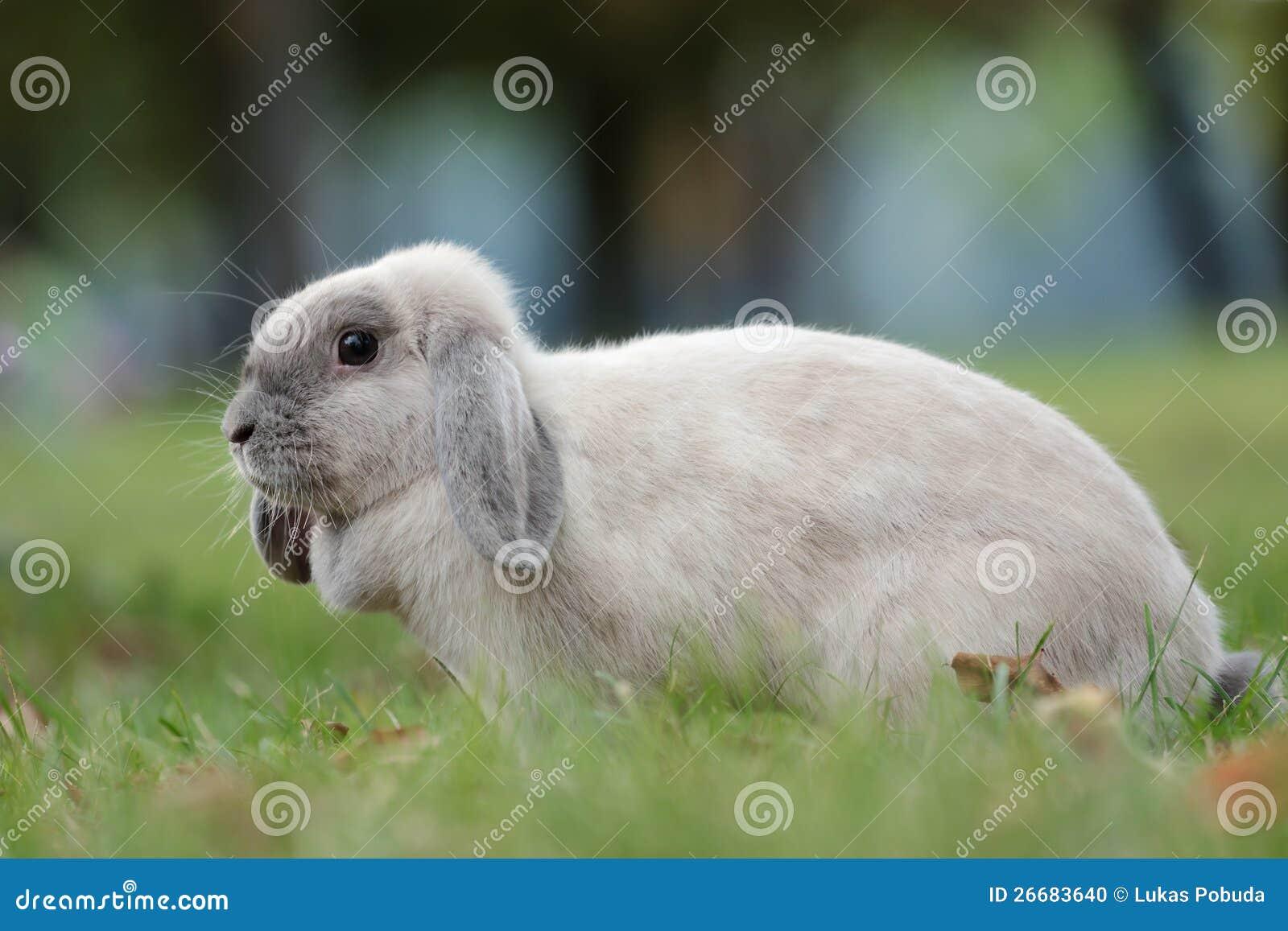 Seitlicher schuß des blauen siamesischen kaninchens in der