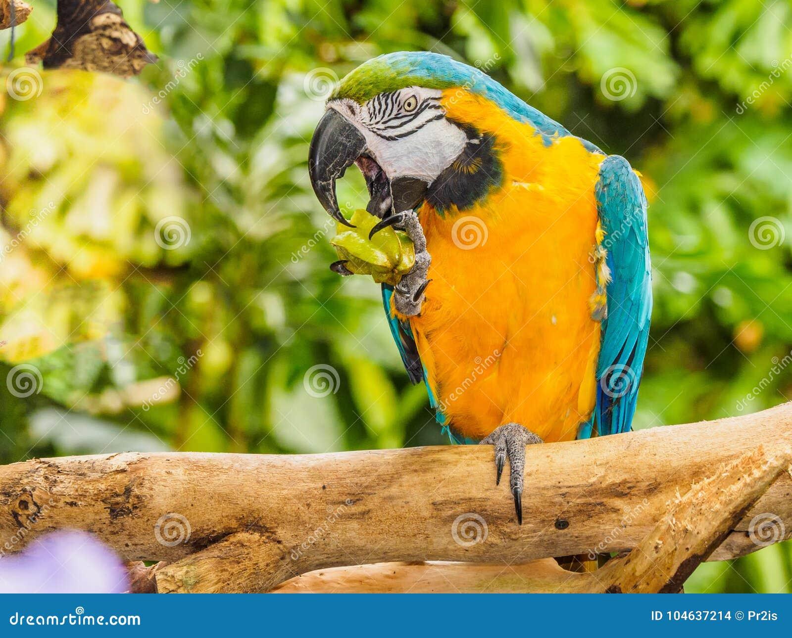 Download Blauw-en-gele Ara - Ararauna Van Aronskelken Stock Foto - Afbeelding bestaande uit veren, volledig: 104637214