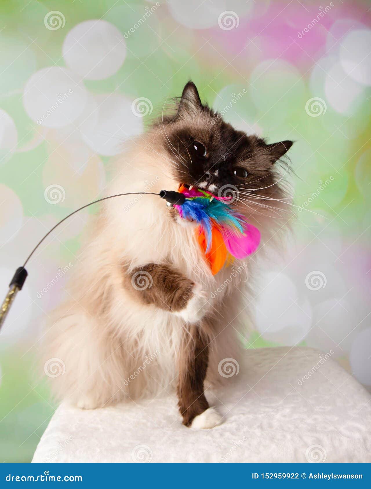 Blauw Eyed Ragdoll-Ras Cat Sitting Playing en het Bijten Veerstuk speelgoed
