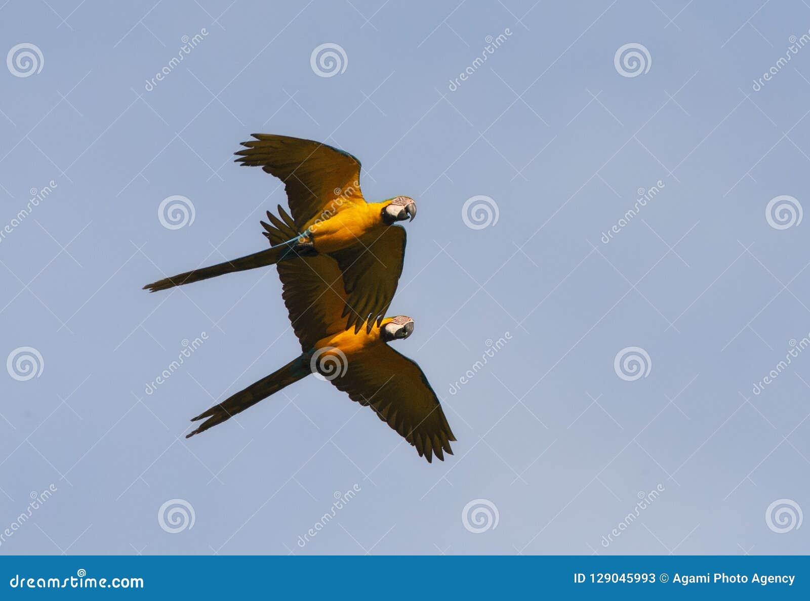 Blauw-gele Ara, Blue-and-yellow Macaw, Ara ararauna